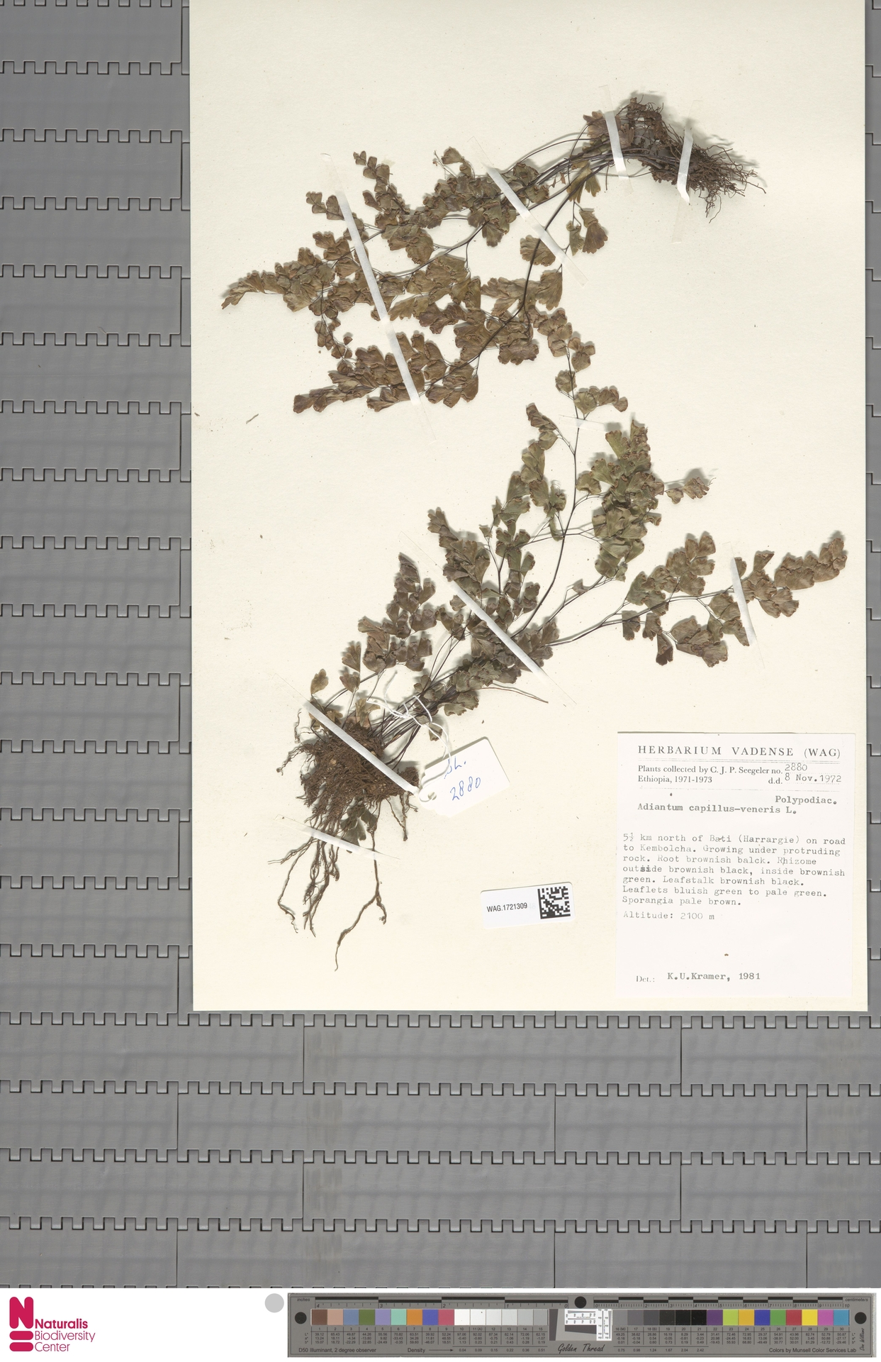 WAG.1721309 | Adiantum capillus-veneris L.
