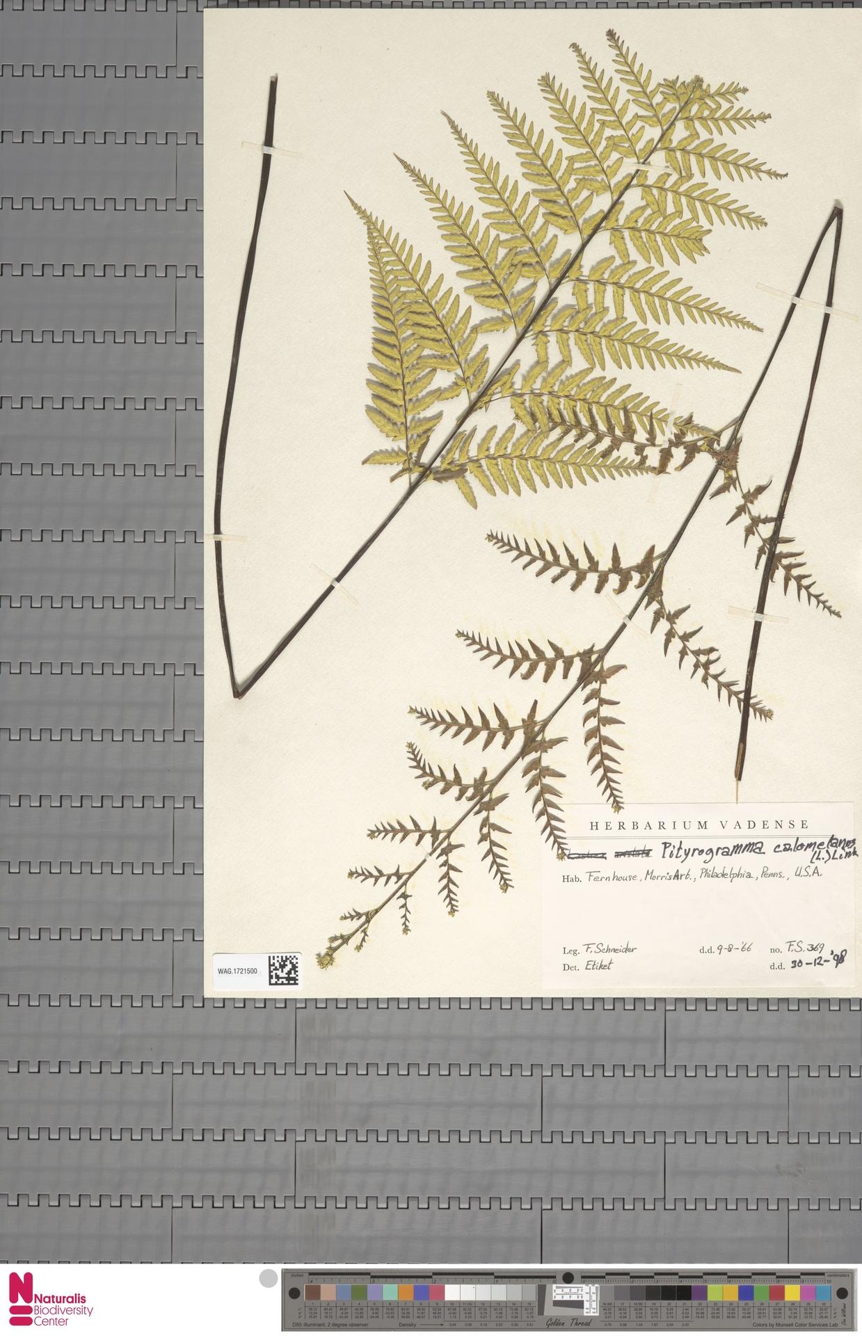 WAG.1721500 | Pityrogramma calomelanos (L.) Link