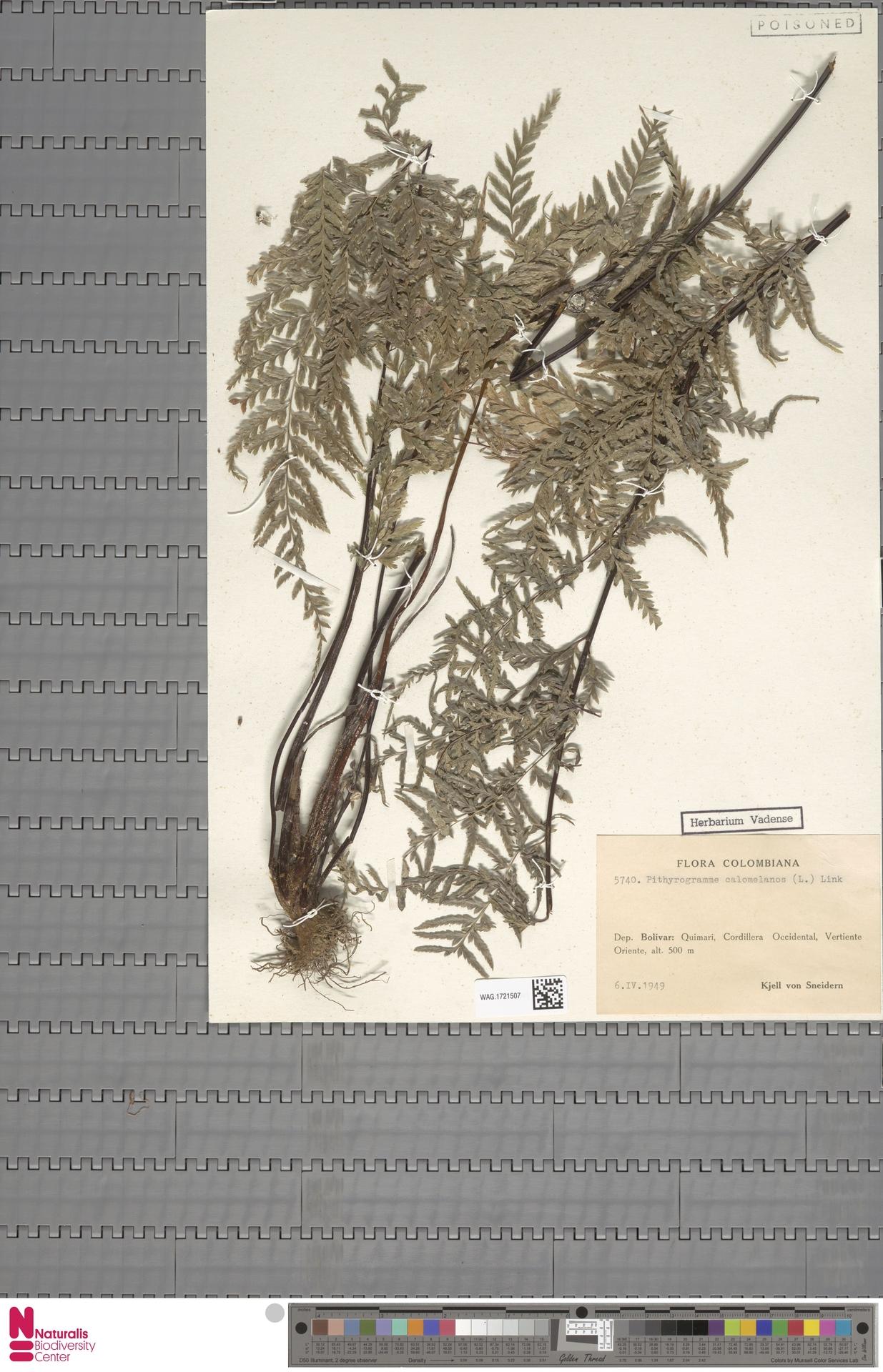 WAG.1721507 | Pityrogramma calomelanos (L.) Link