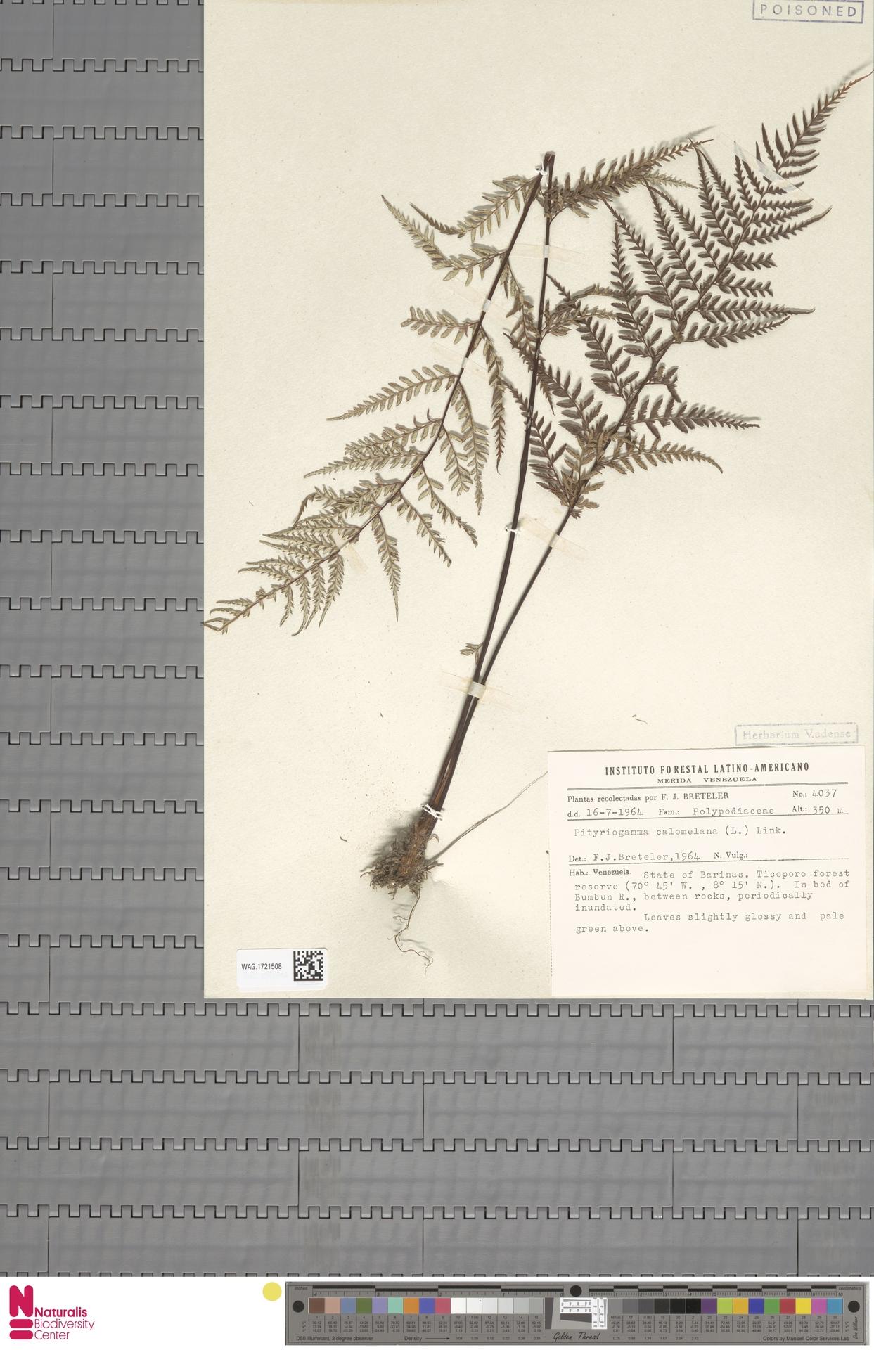 WAG.1721508   Pityrogramma calomelanos (L.) Link