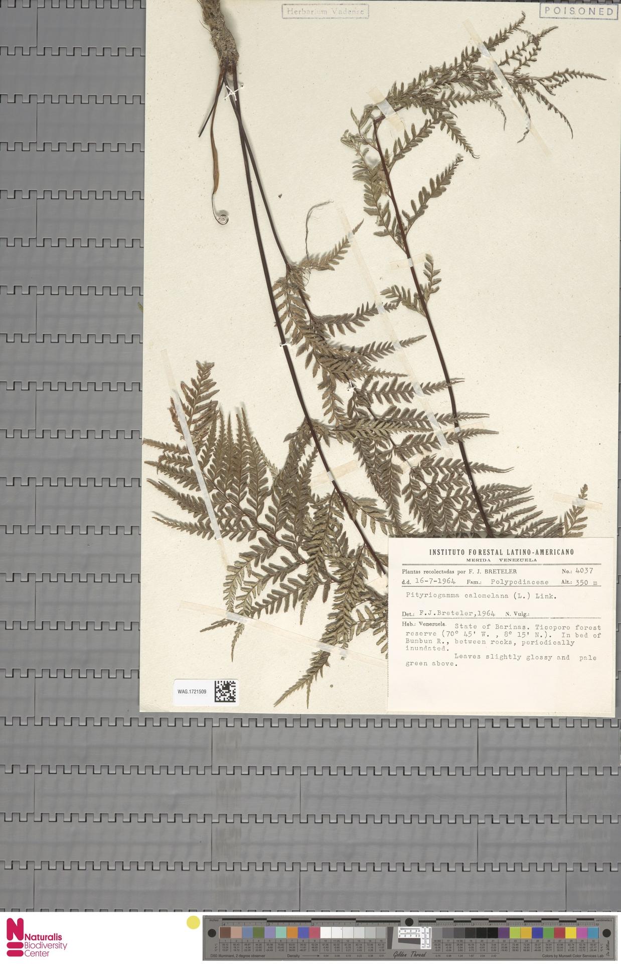 WAG.1721509 | Pityrogramma calomelanos (L.) Link