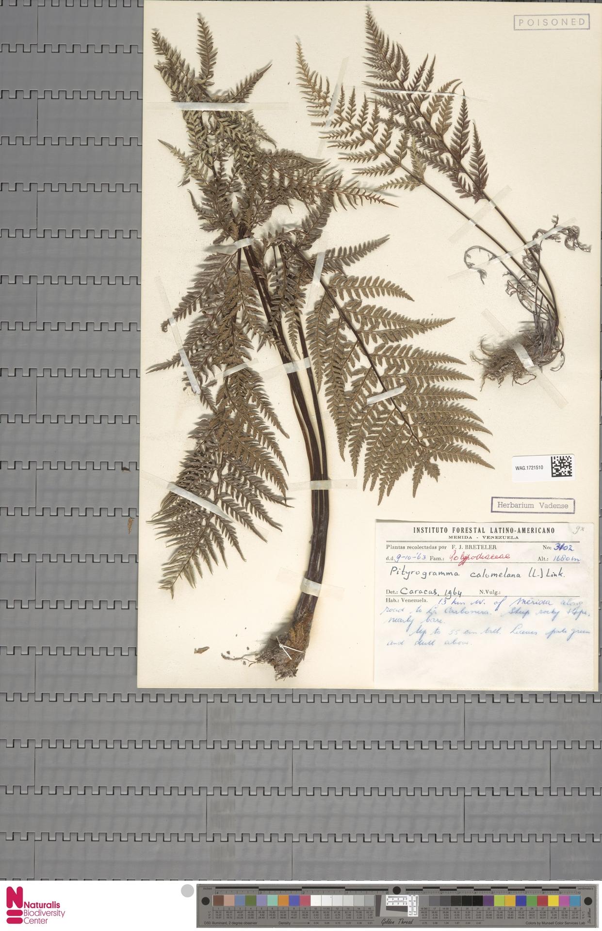 WAG.1721510   Pityrogramma calomelanos (L.) Link