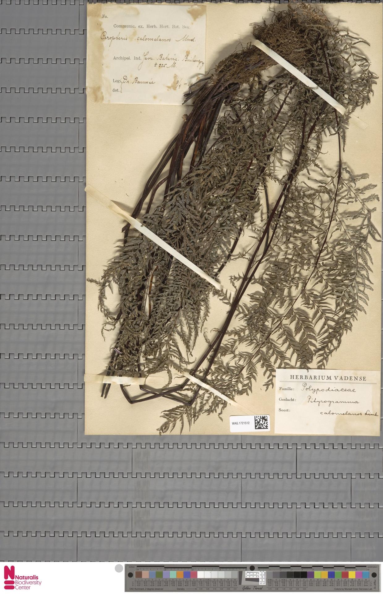 WAG.1721512 | Pityrogramma calomelanos (L.) Link