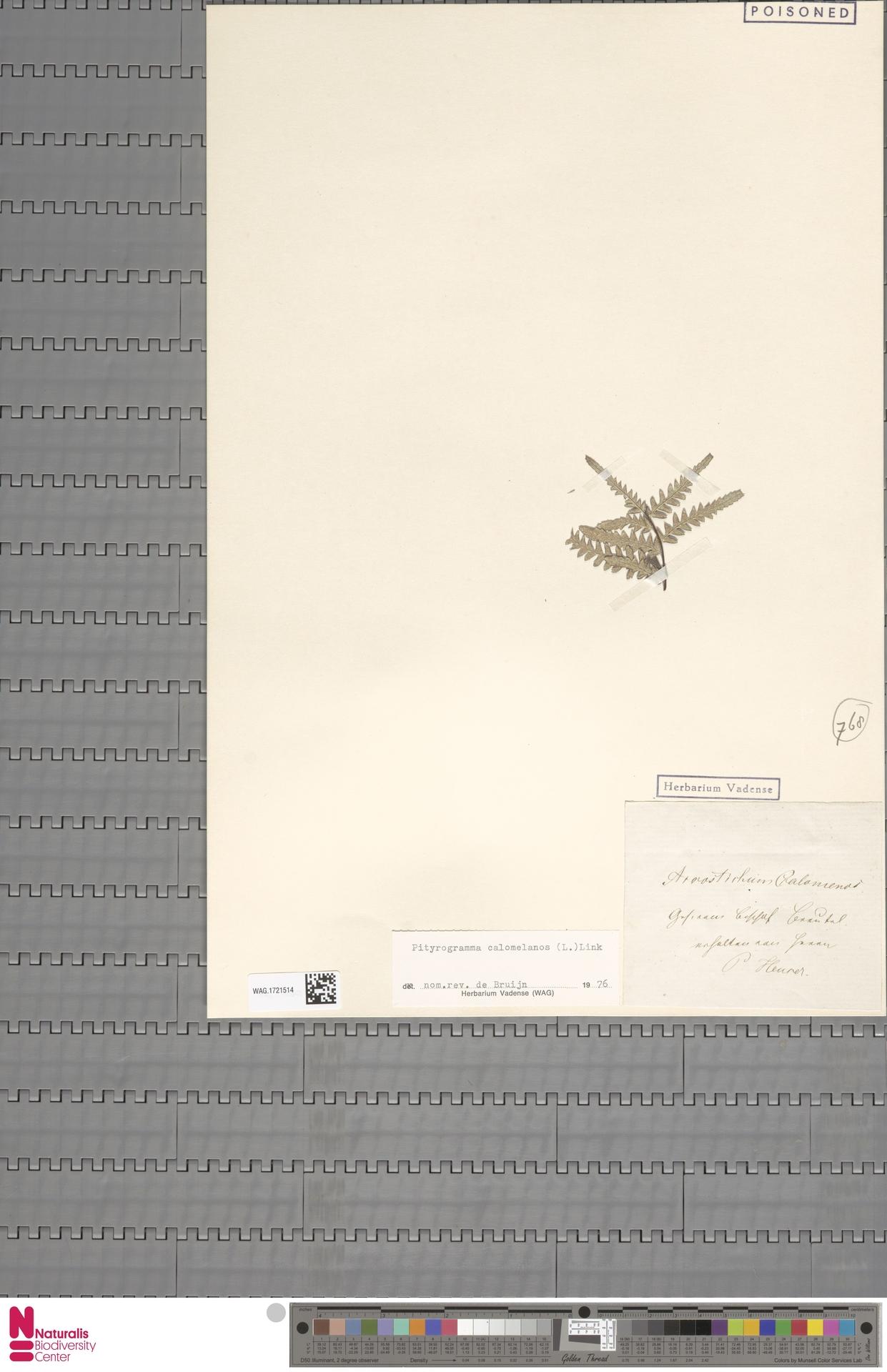 WAG.1721514 | Pityrogramma calomelanos (L.) Link