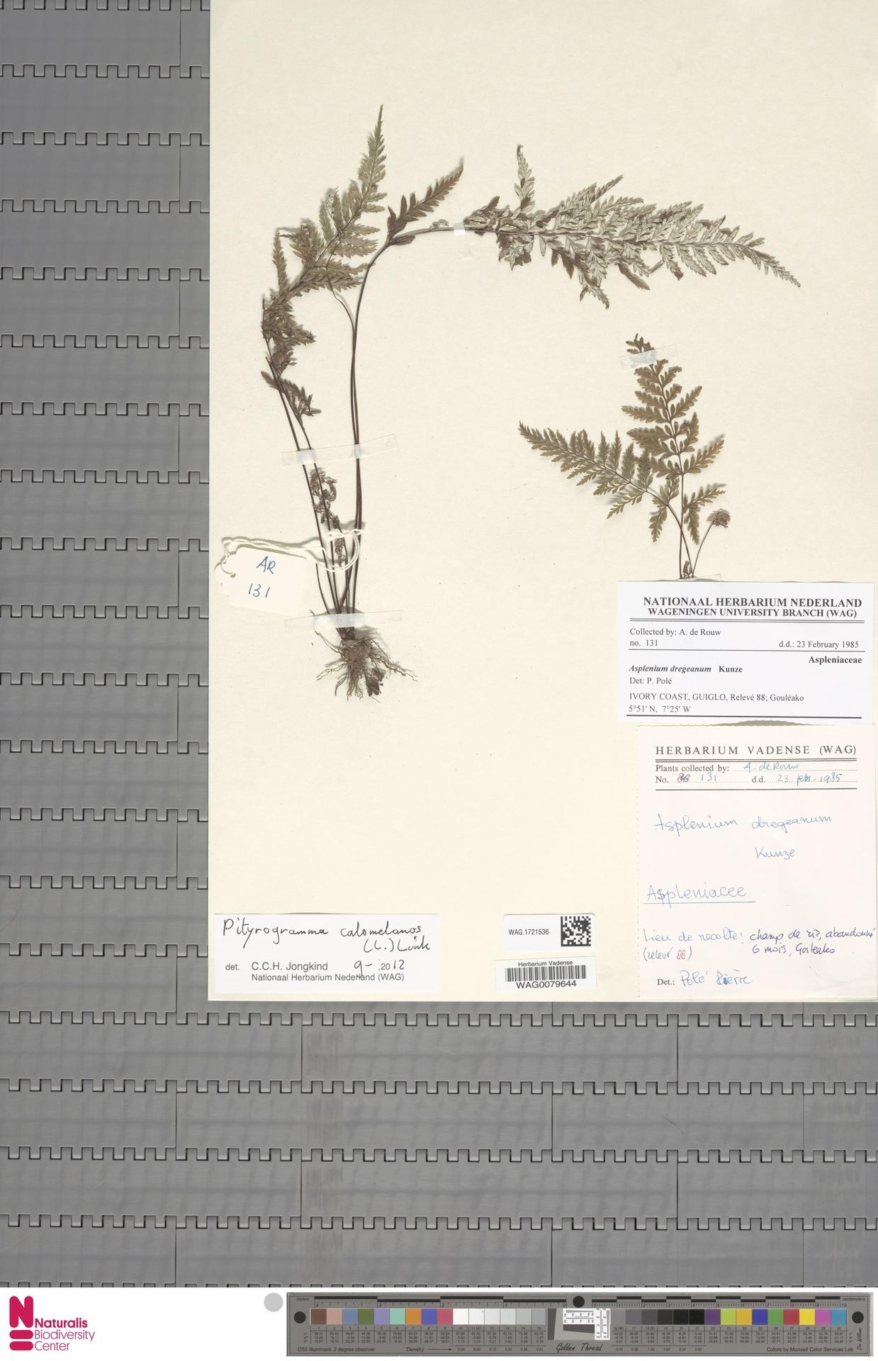 WAG.1721536 | Pityrogramma calomelanos (L.) Link