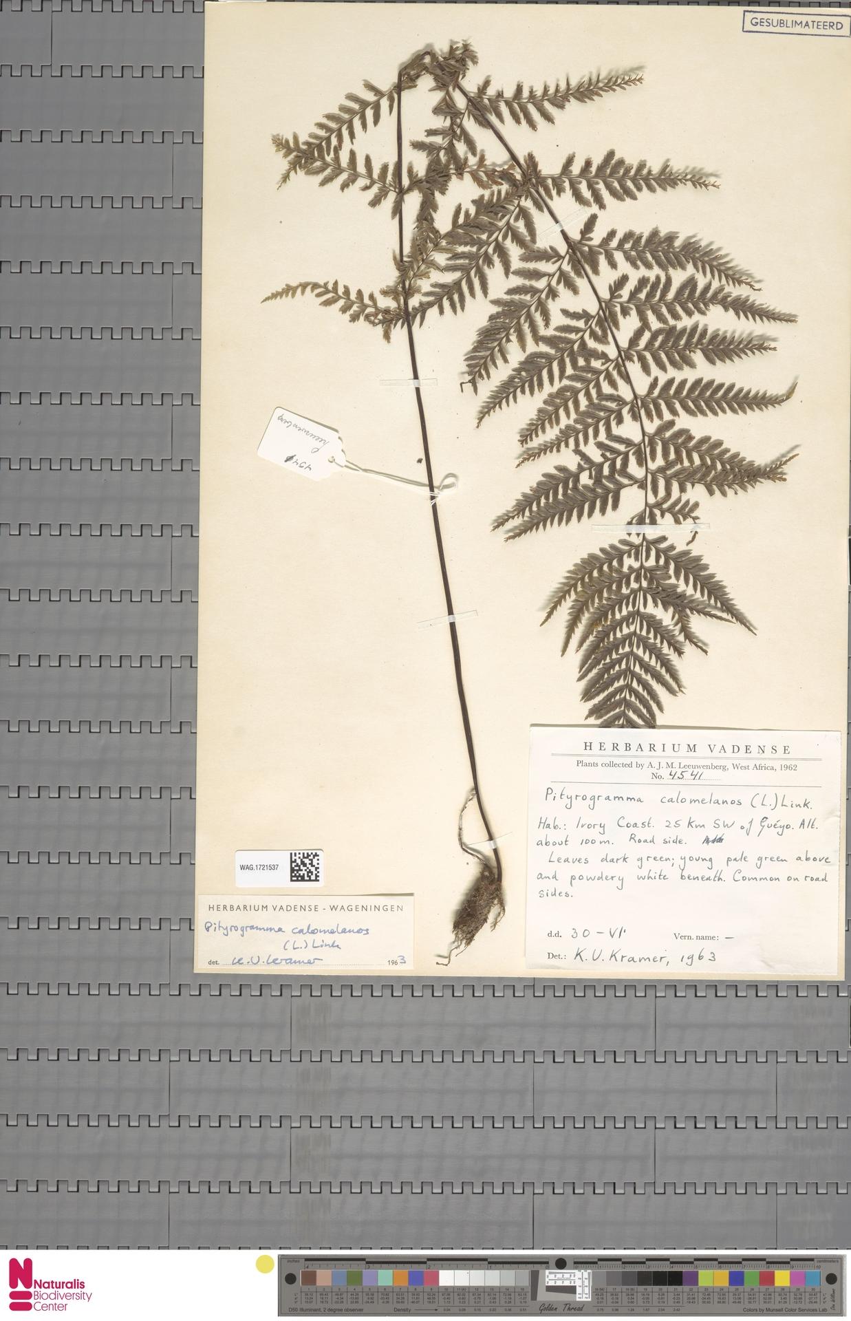 WAG.1721537 | Pityrogramma calomelanos (L.) Link