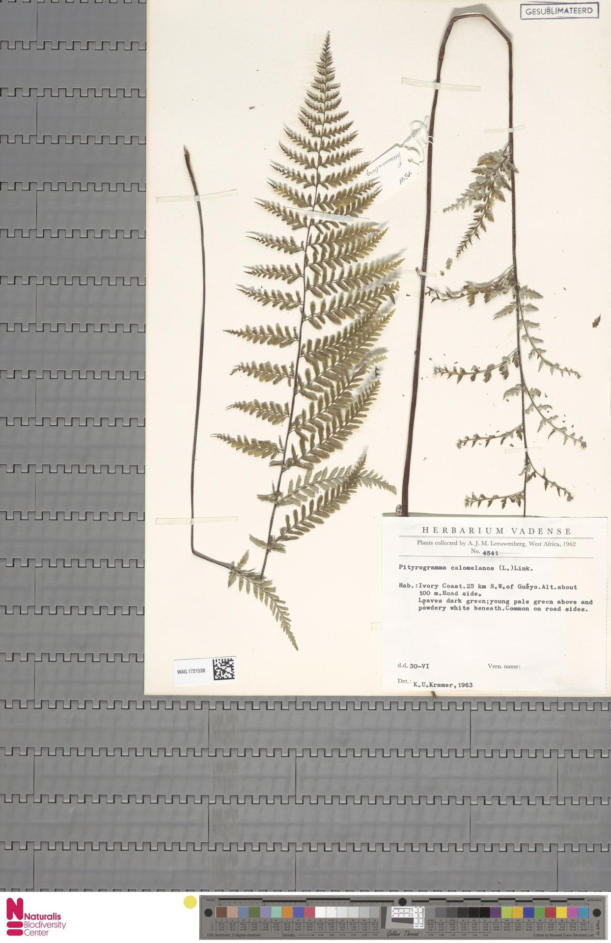 WAG.1721538   Pityrogramma calomelanos (L.) Link