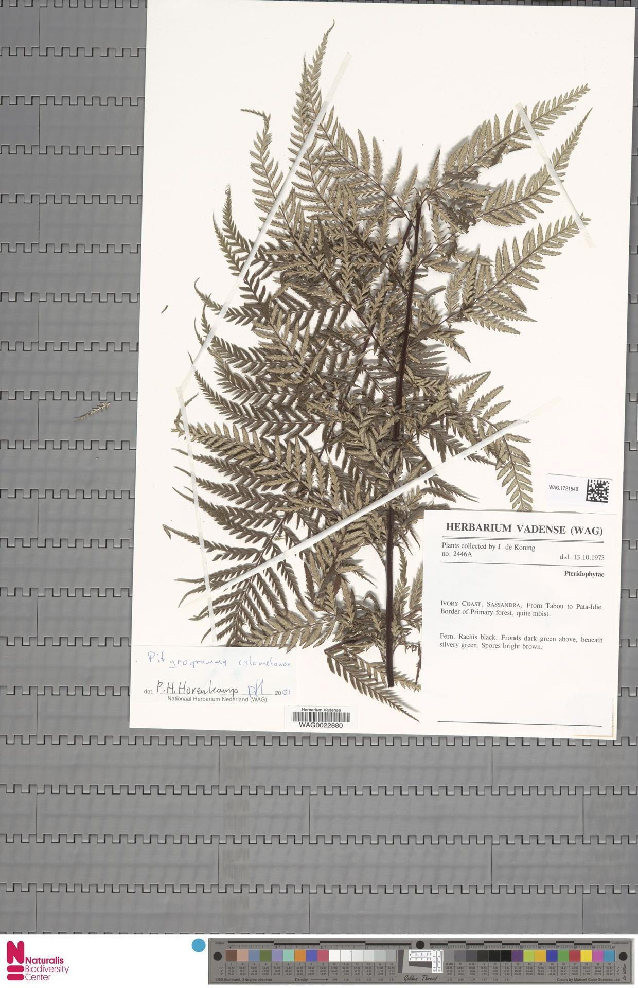 WAG.1721540 | Pityrogramma calomelanos (L.) Link