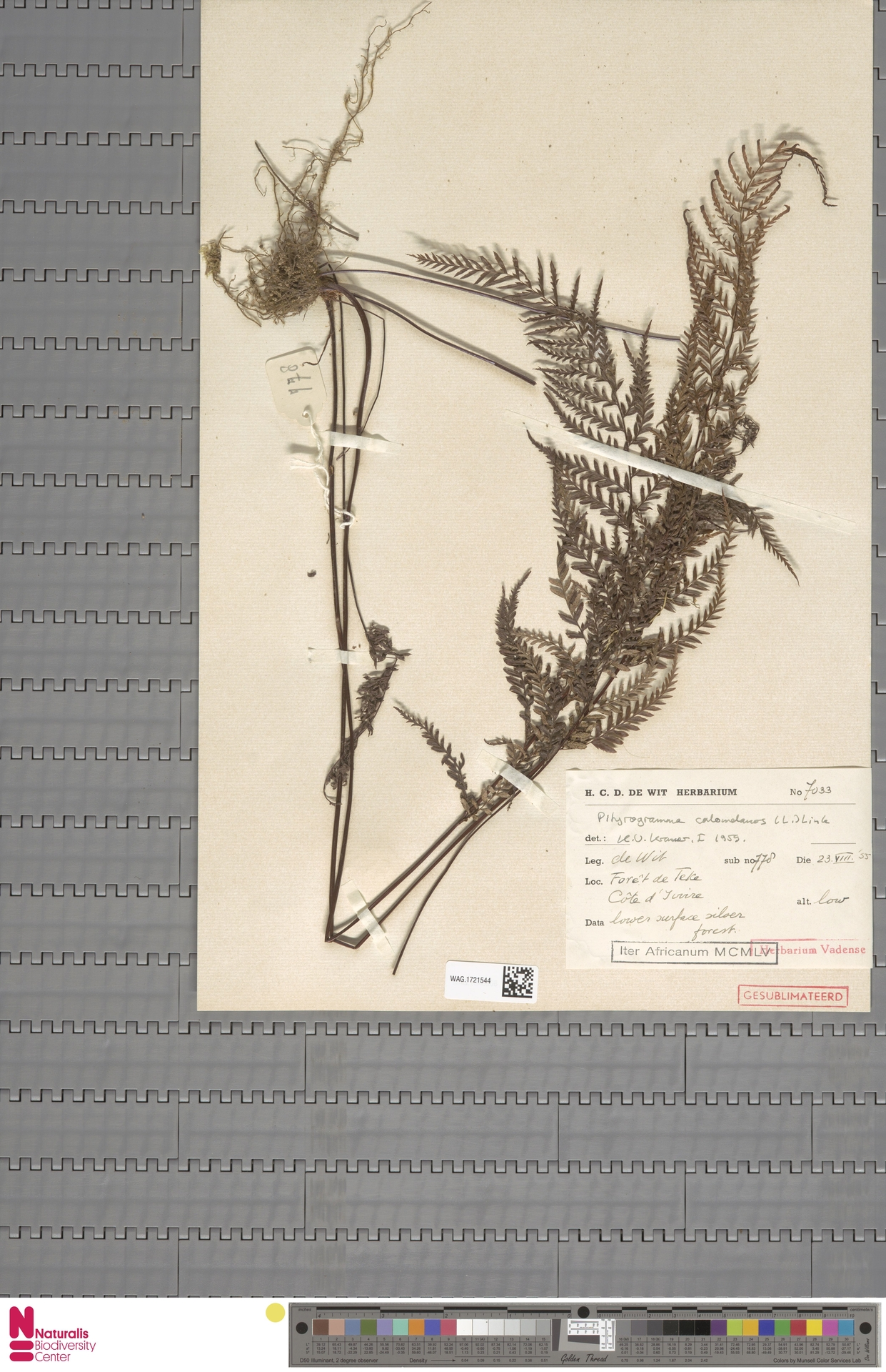 WAG.1721544 | Pityrogramma calomelanos (L.) Link