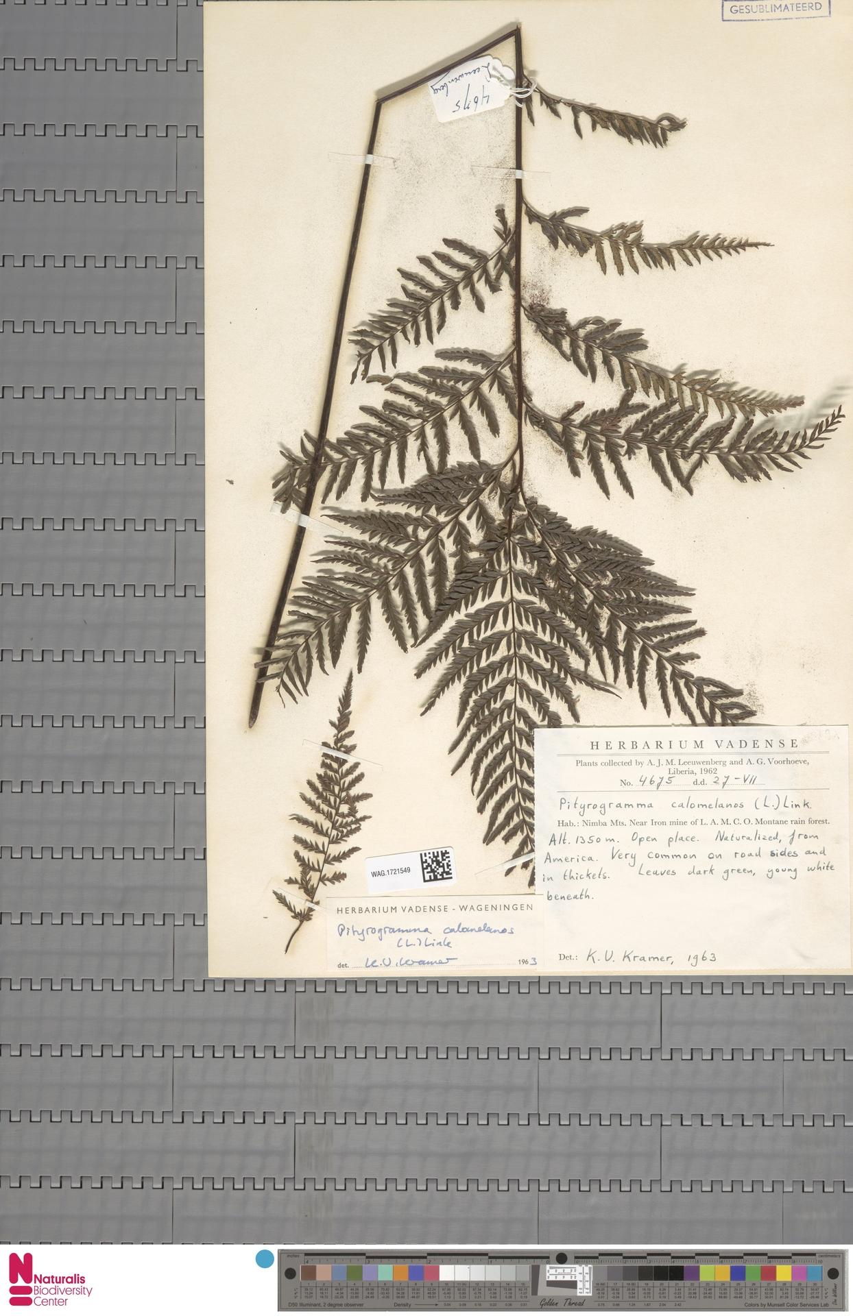 WAG.1721549 | Pityrogramma calomelanos (L.) Link
