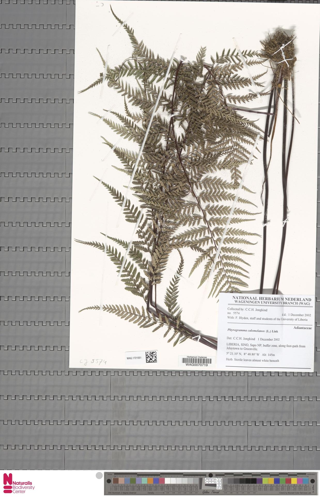 WAG.1721551 | Pityrogramma calomelanos (L.) Link