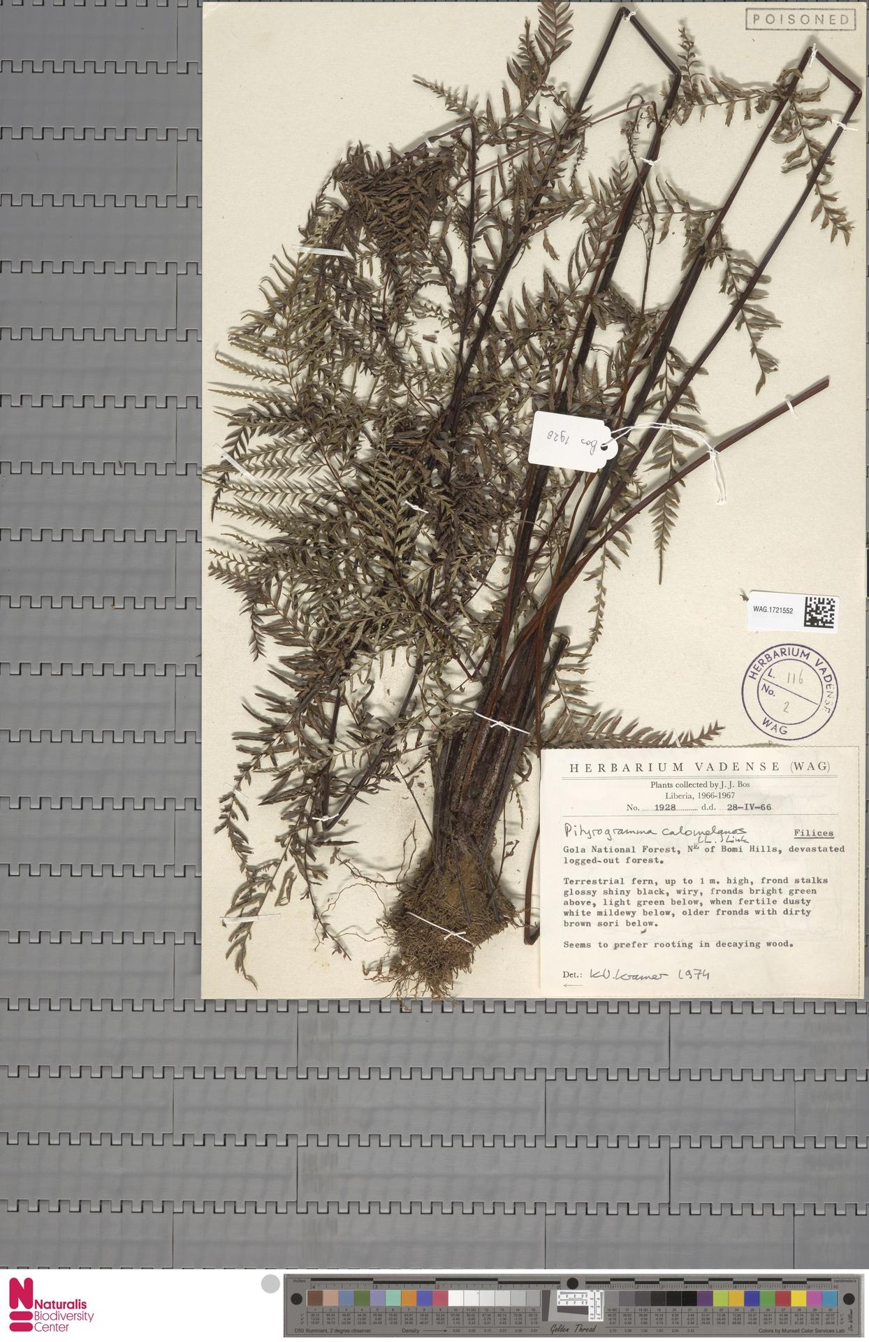 WAG.1721552 | Pityrogramma calomelanos (L.) Link