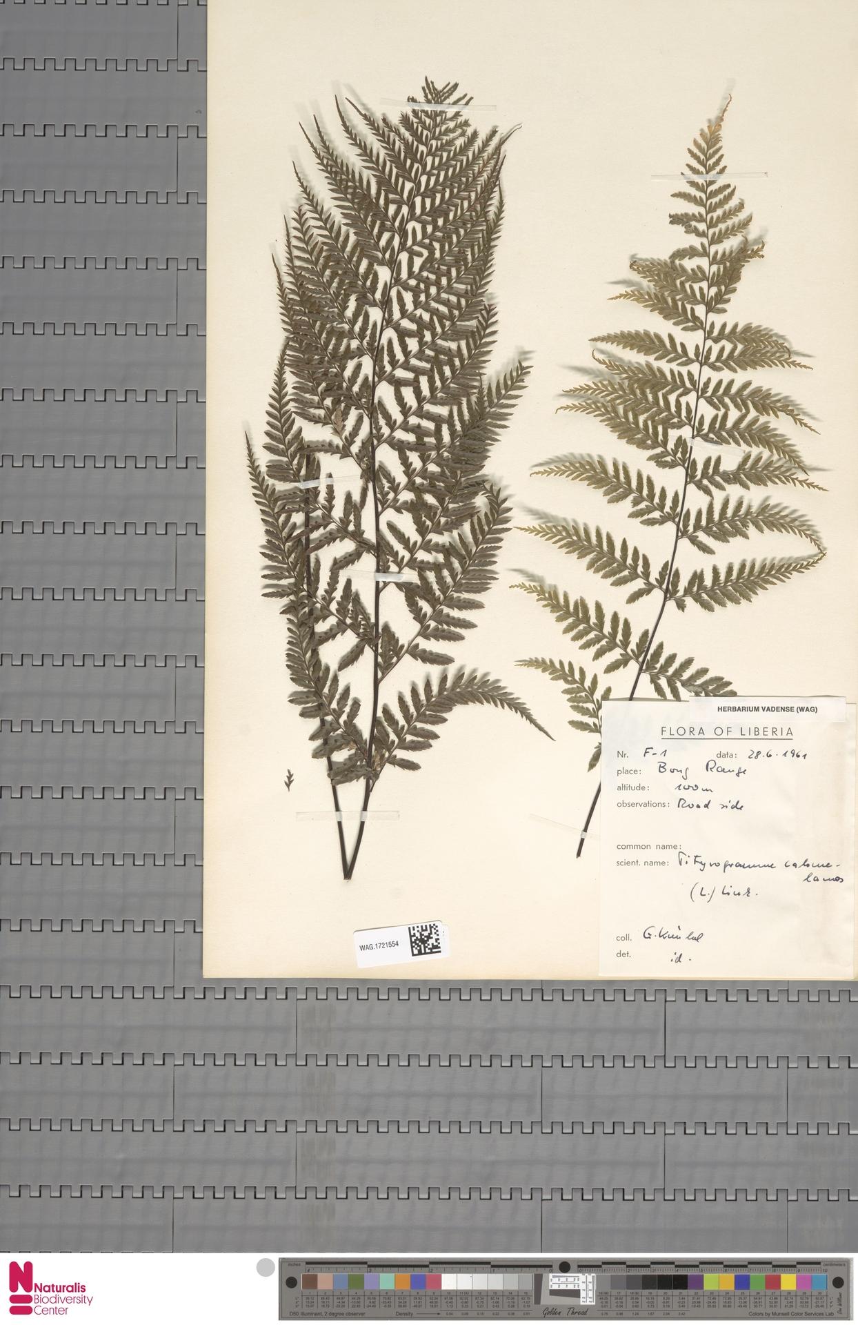 WAG.1721554 | Pityrogramma calomelanos (L.) Link