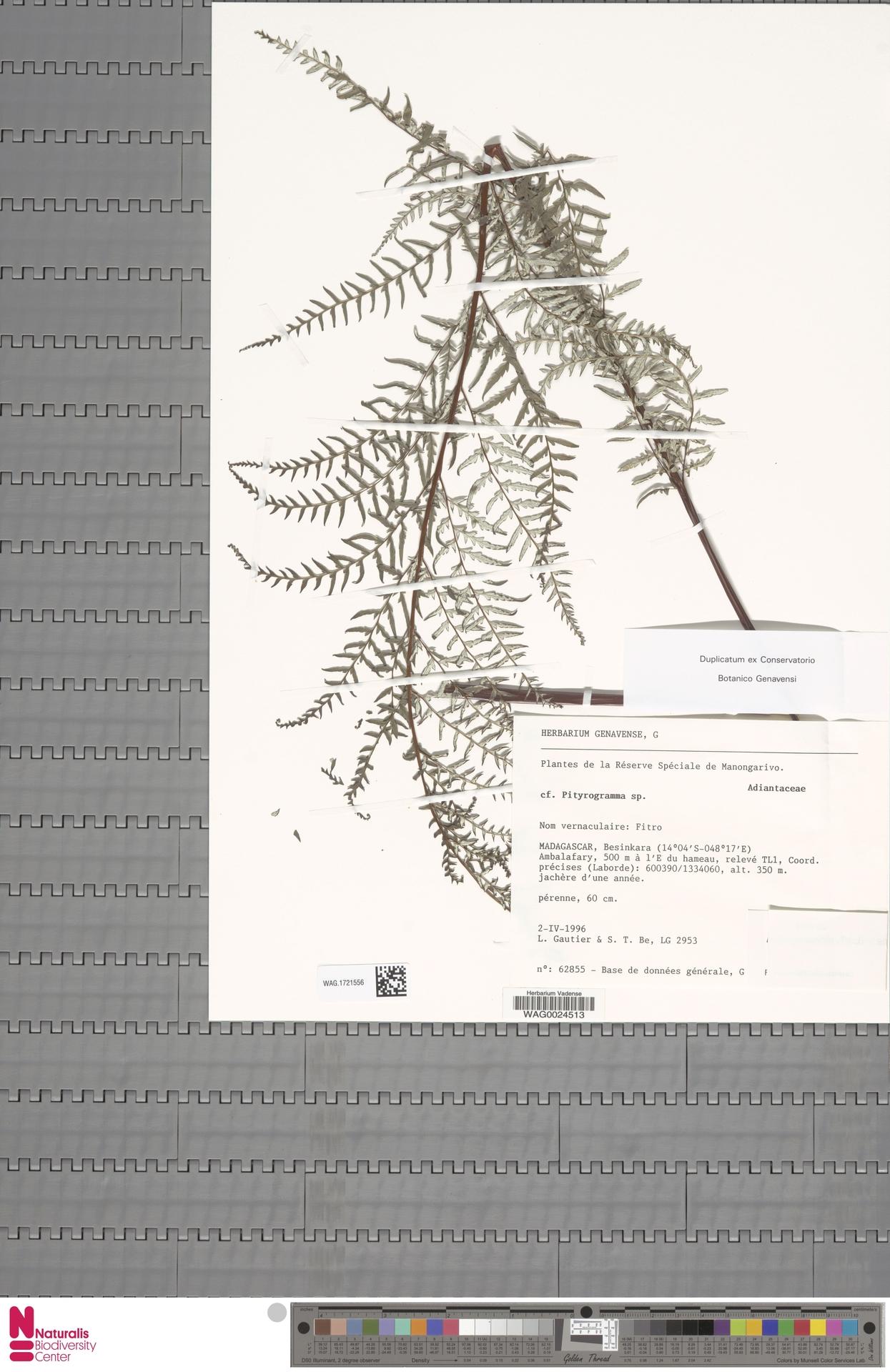 WAG.1721556 | Pityrogramma calomelanos (L.) Link