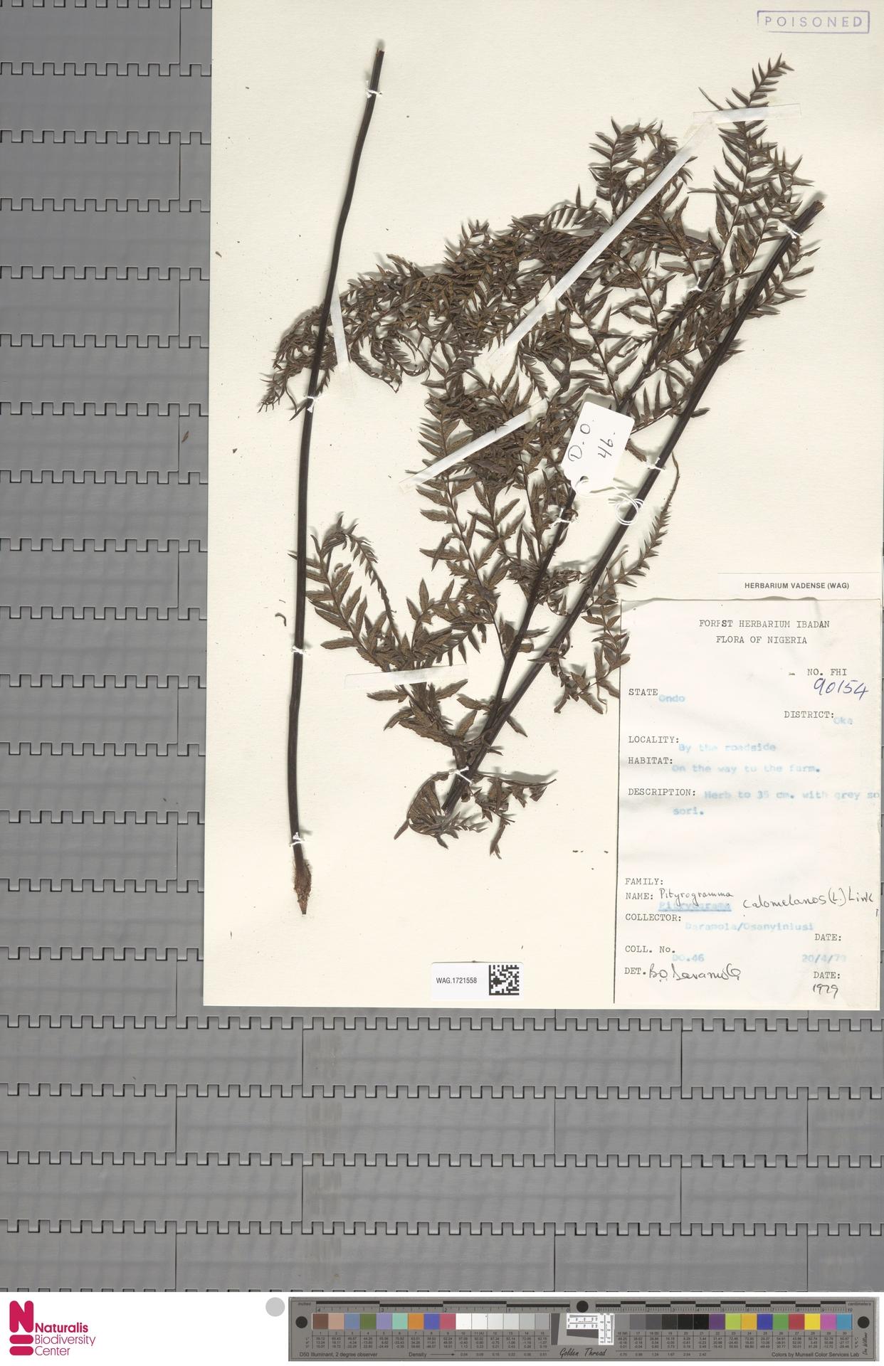 WAG.1721558 | Pityrogramma calomelanos (L.) Link