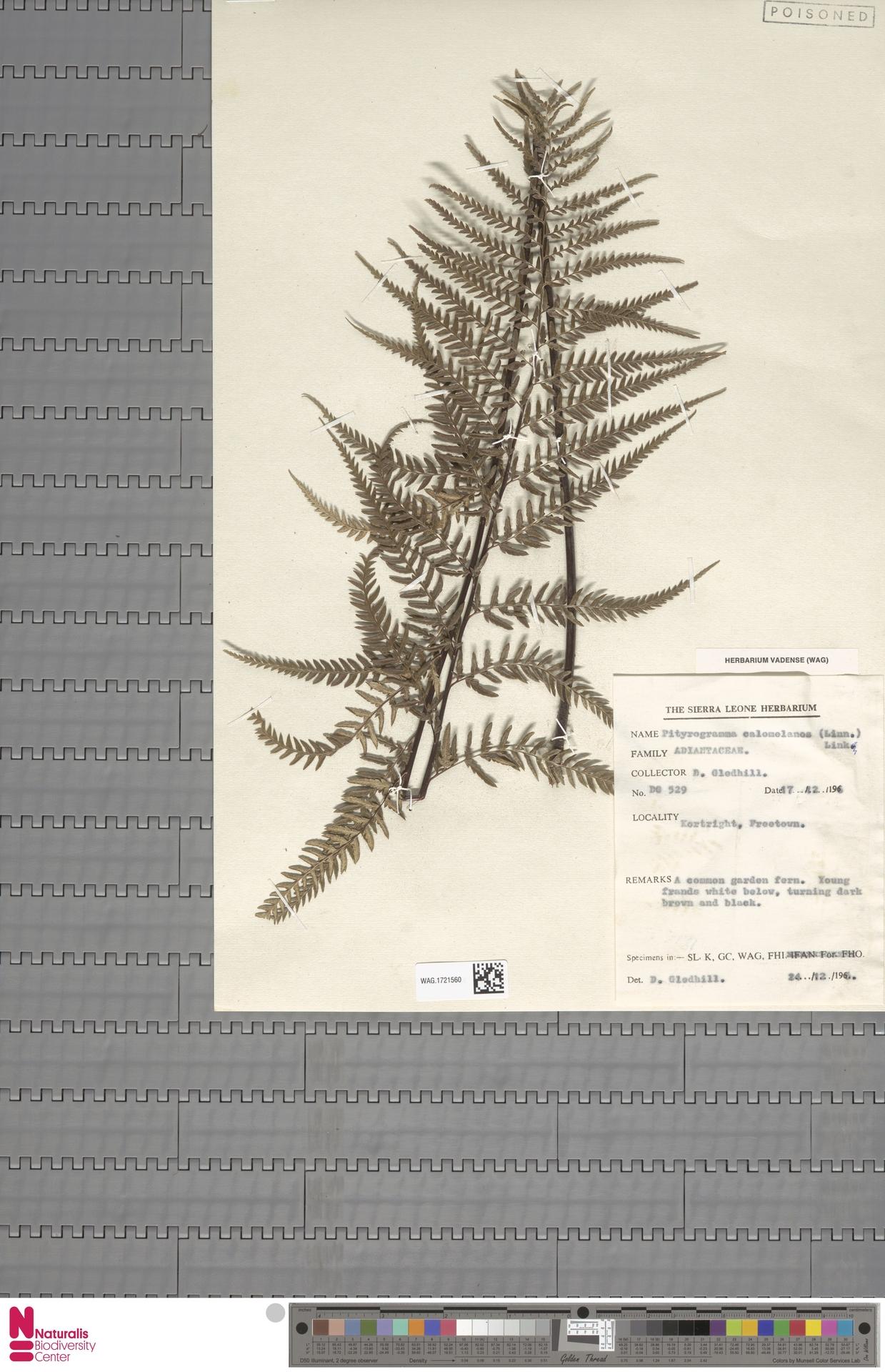 WAG.1721560 | Pityrogramma calomelanos (L.) Link
