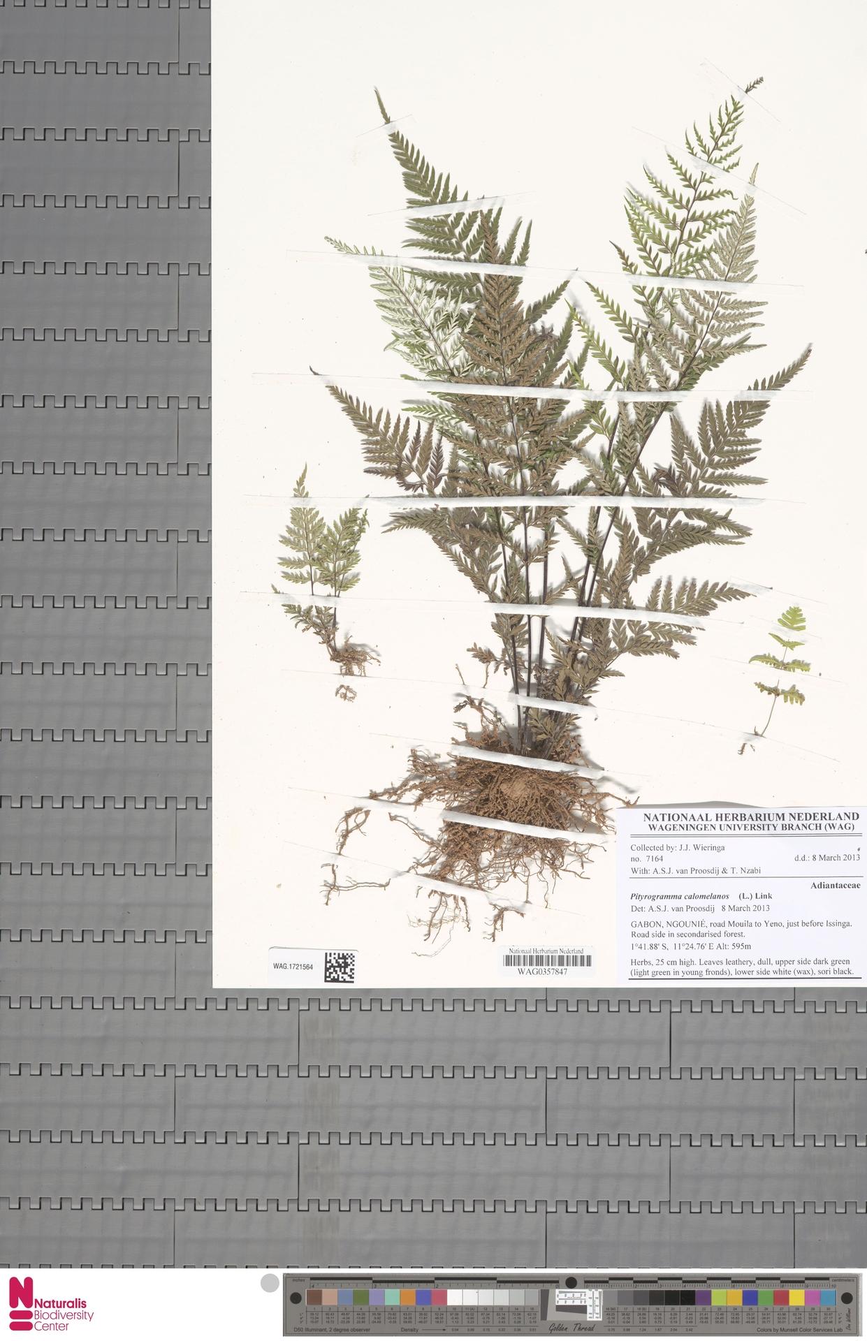 WAG.1721564 | Pityrogramma calomelanos (L.) Link