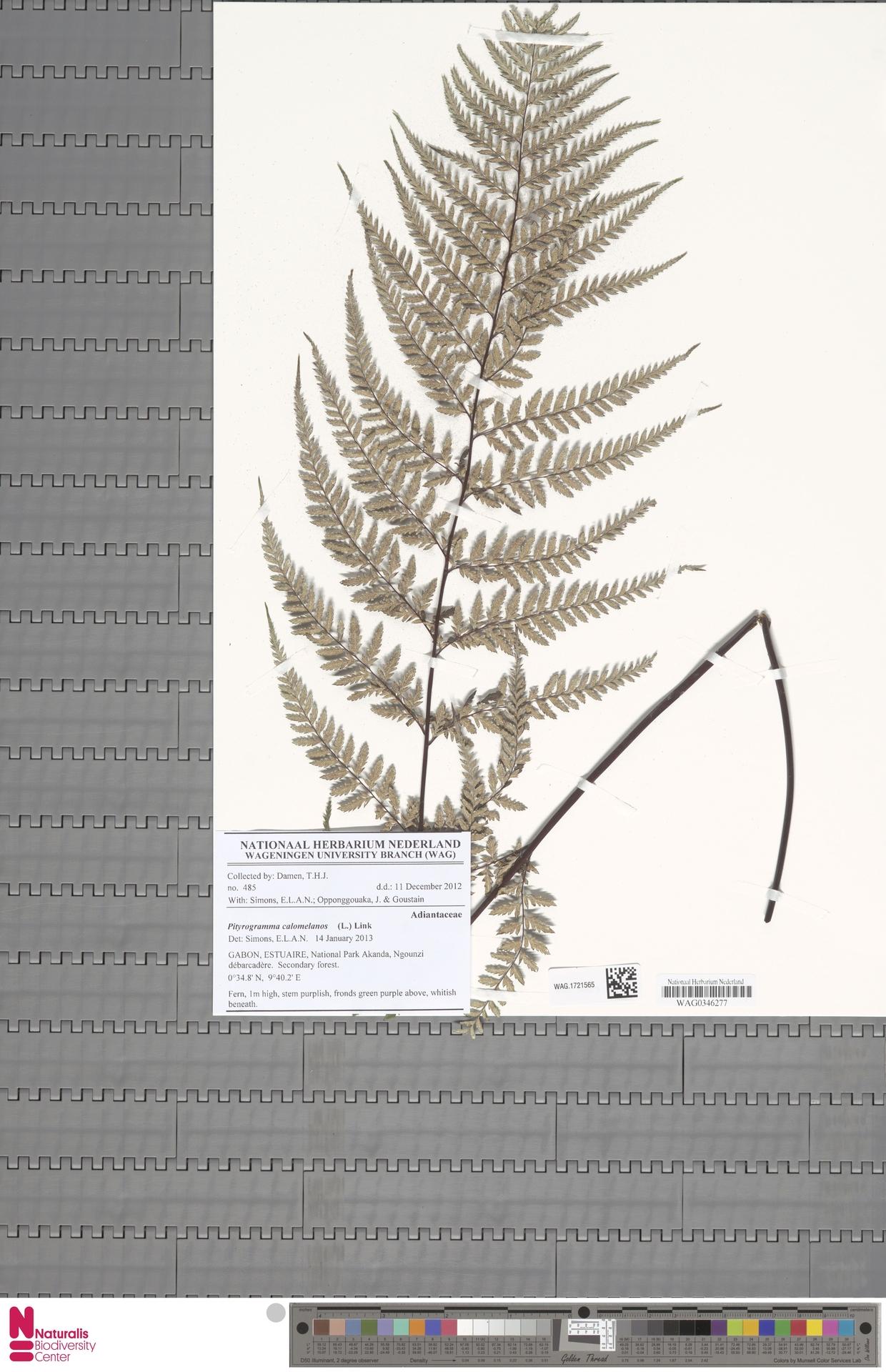 WAG.1721565 | Pityrogramma calomelanos (L.) Link