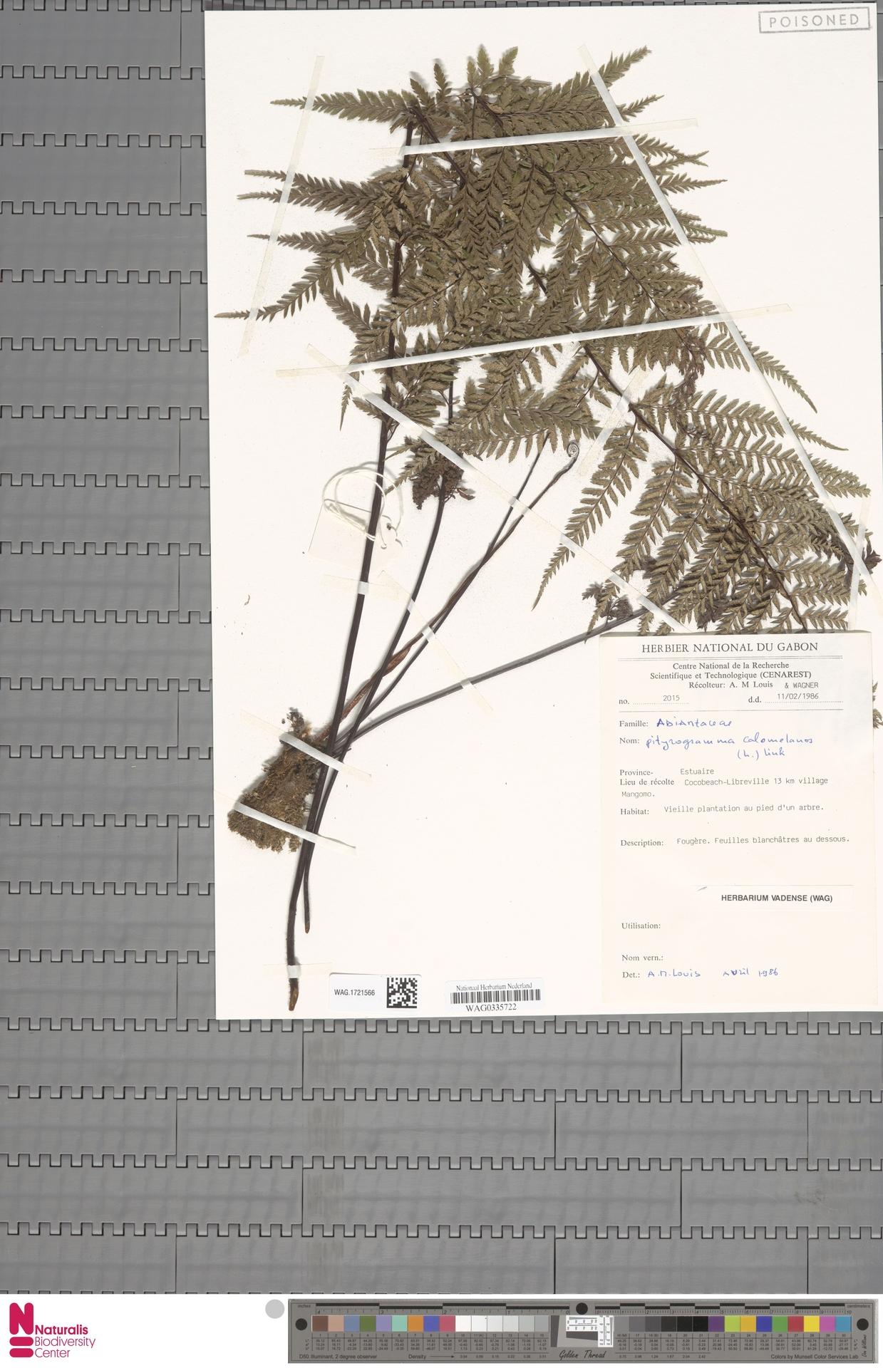 WAG.1721566 | Pityrogramma calomelanos (L.) Link