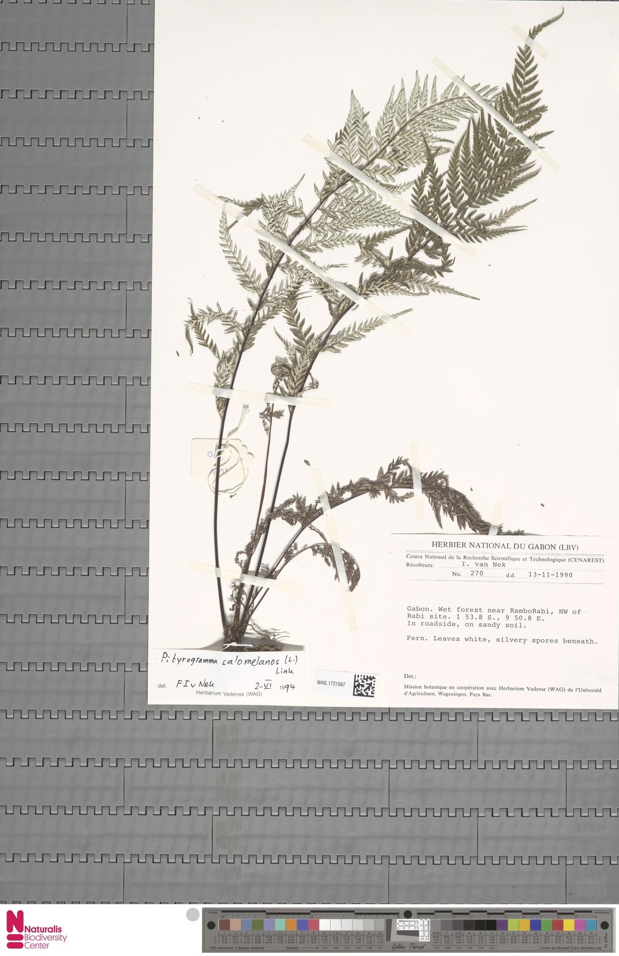 WAG.1721567 | Pityrogramma calomelanos (L.) Link