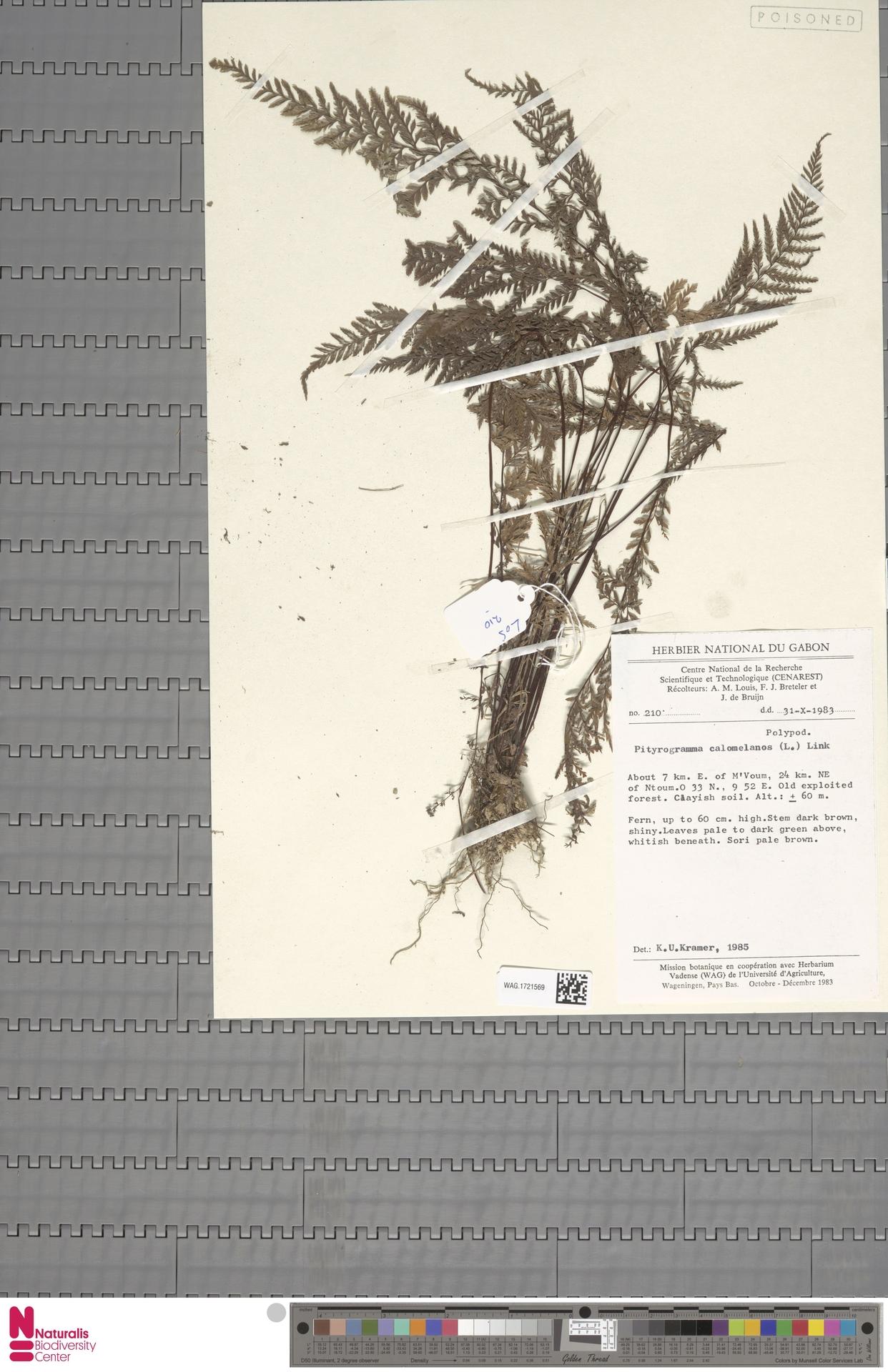 WAG.1721569 | Pityrogramma calomelanos (L.) Link