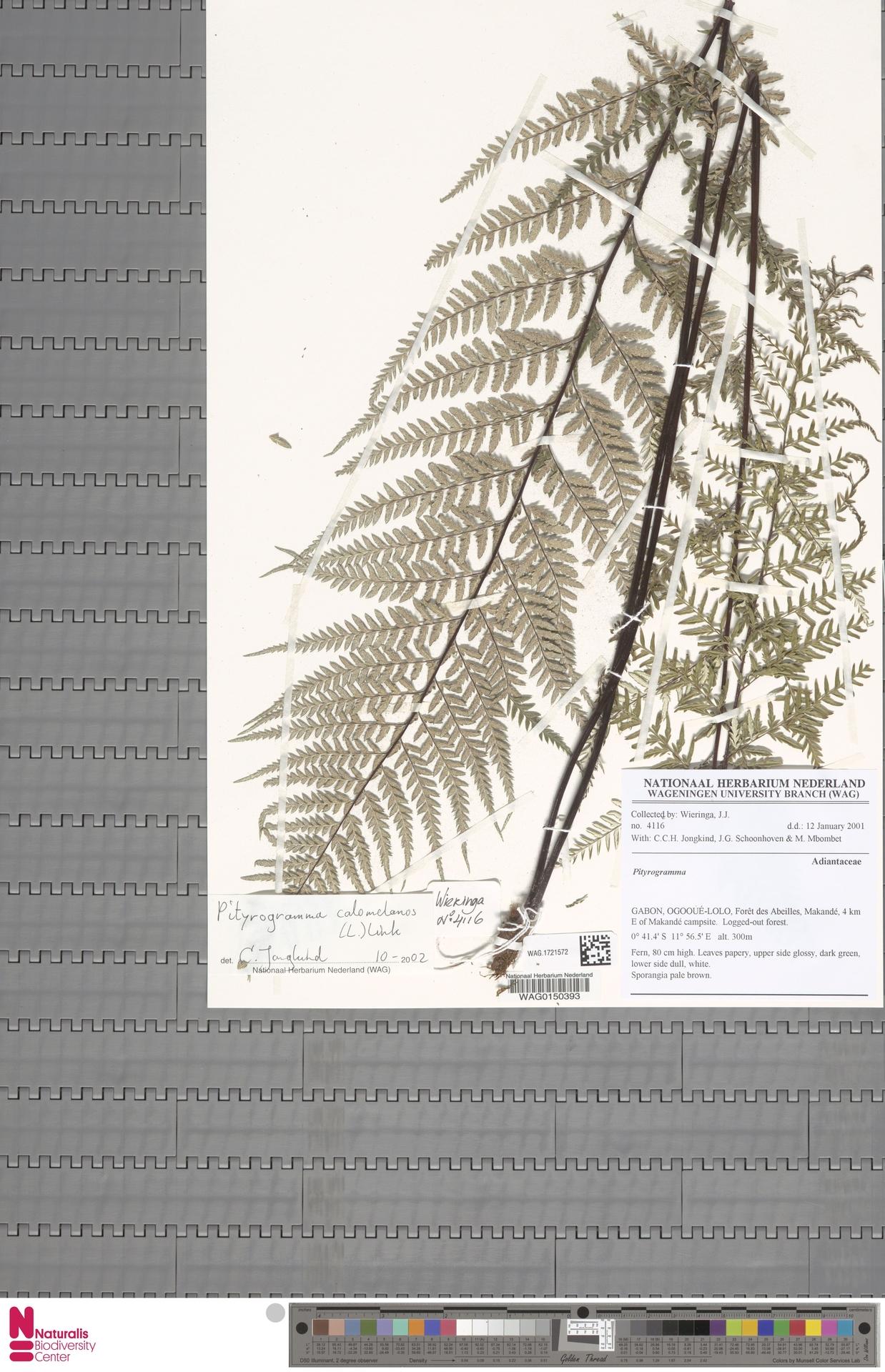 WAG.1721572 | Pityrogramma calomelanos (L.) Link