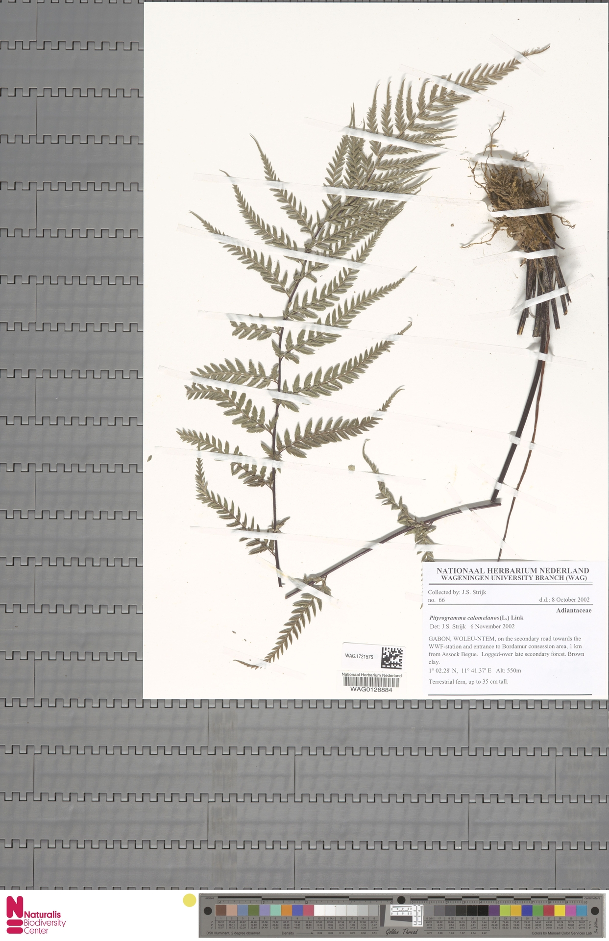 WAG.1721575 | Pityrogramma calomelanos (L.) Link