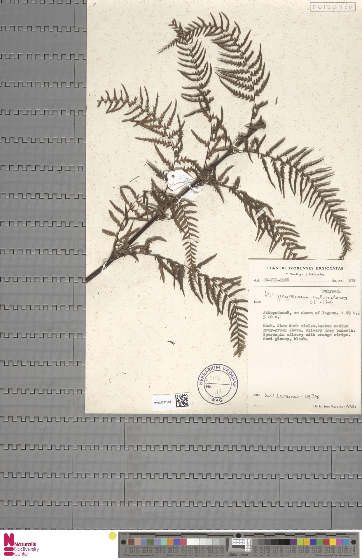 WAG.1721580   Pityrogramma calomelanos (L.) Link