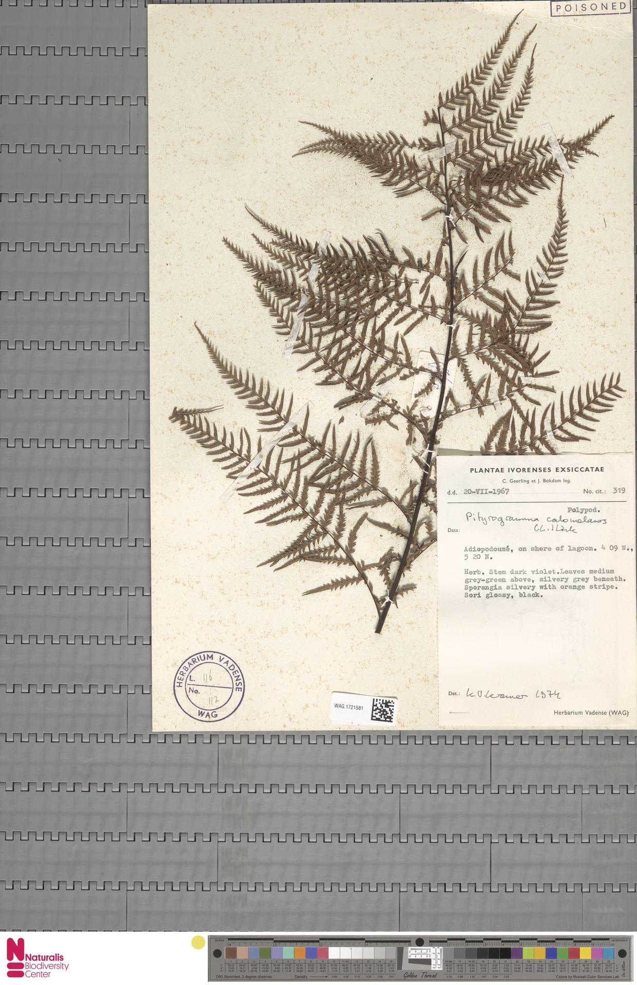 WAG.1721581 | Pityrogramma calomelanos (L.) Link