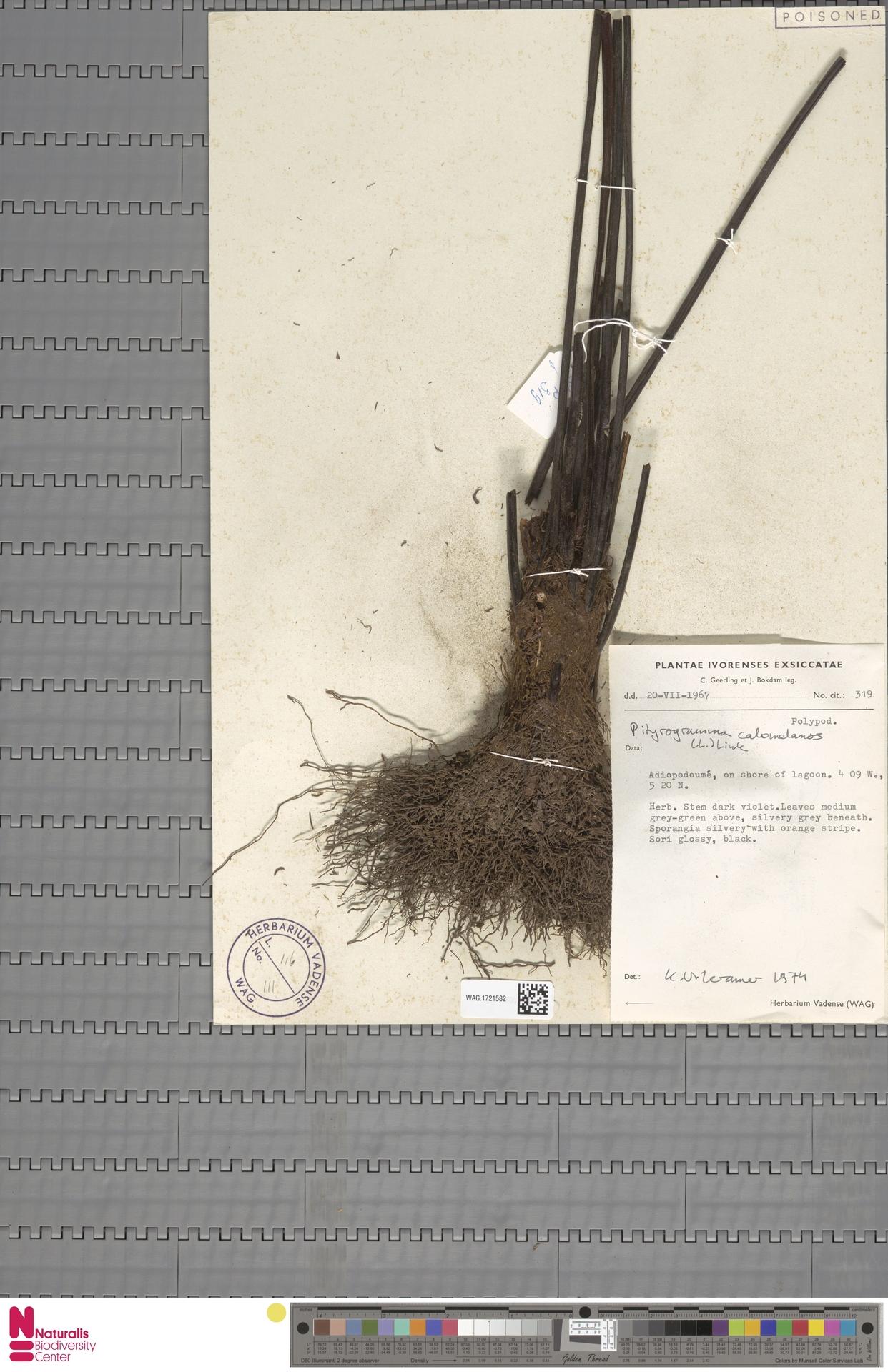 WAG.1721582 | Pityrogramma calomelanos (L.) Link