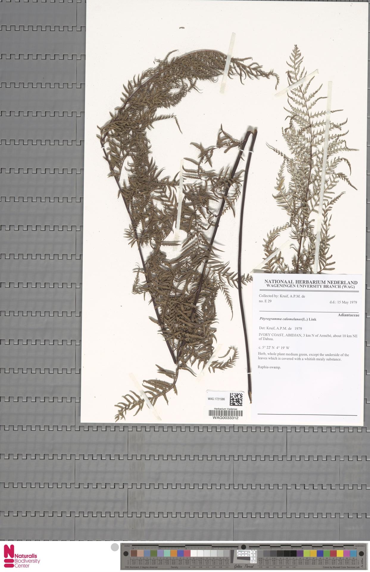 WAG.1721586 | Pityrogramma calomelanos (L.) Link