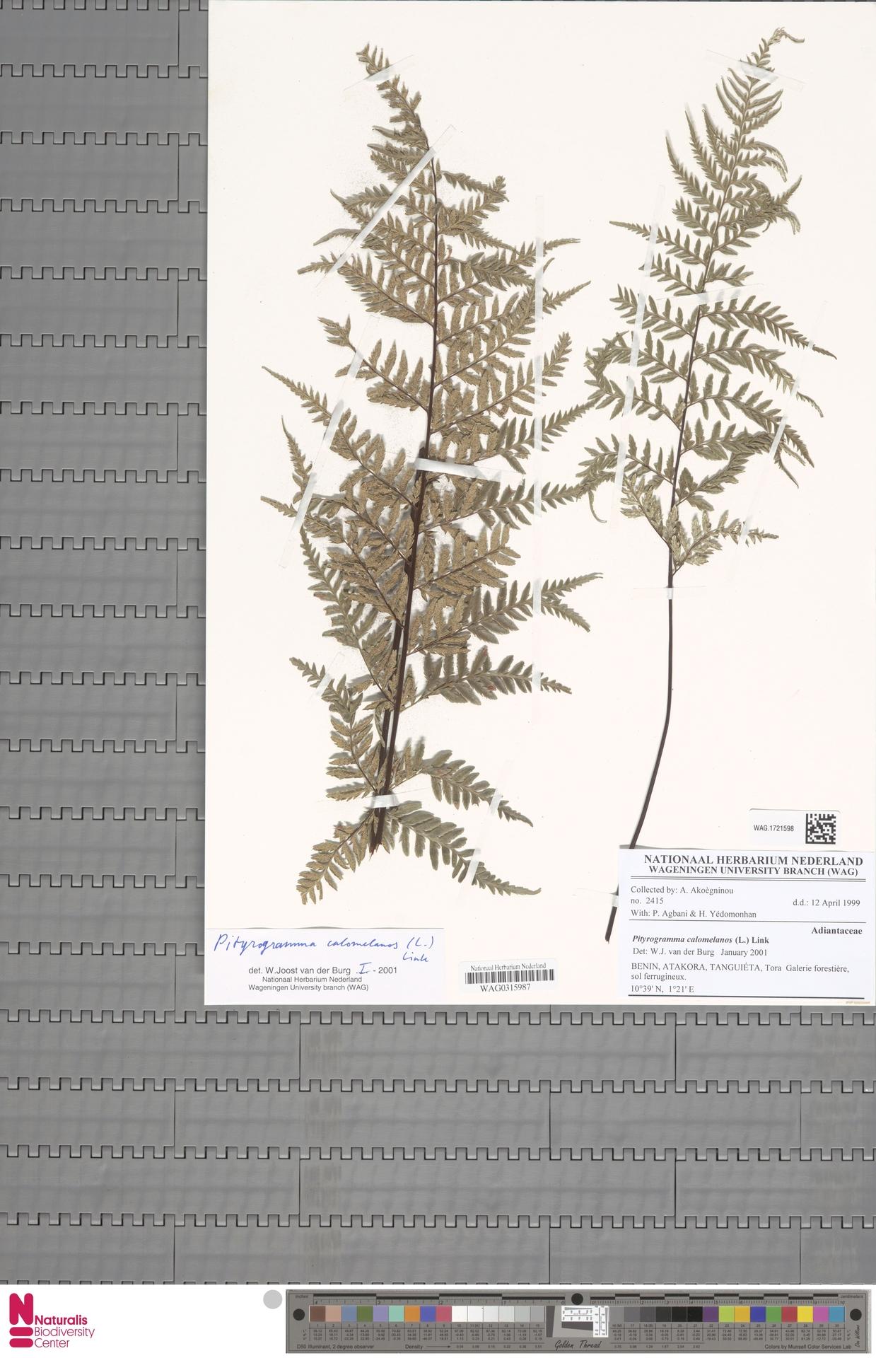 WAG.1721598 | Pityrogramma calomelanos (L.) Link