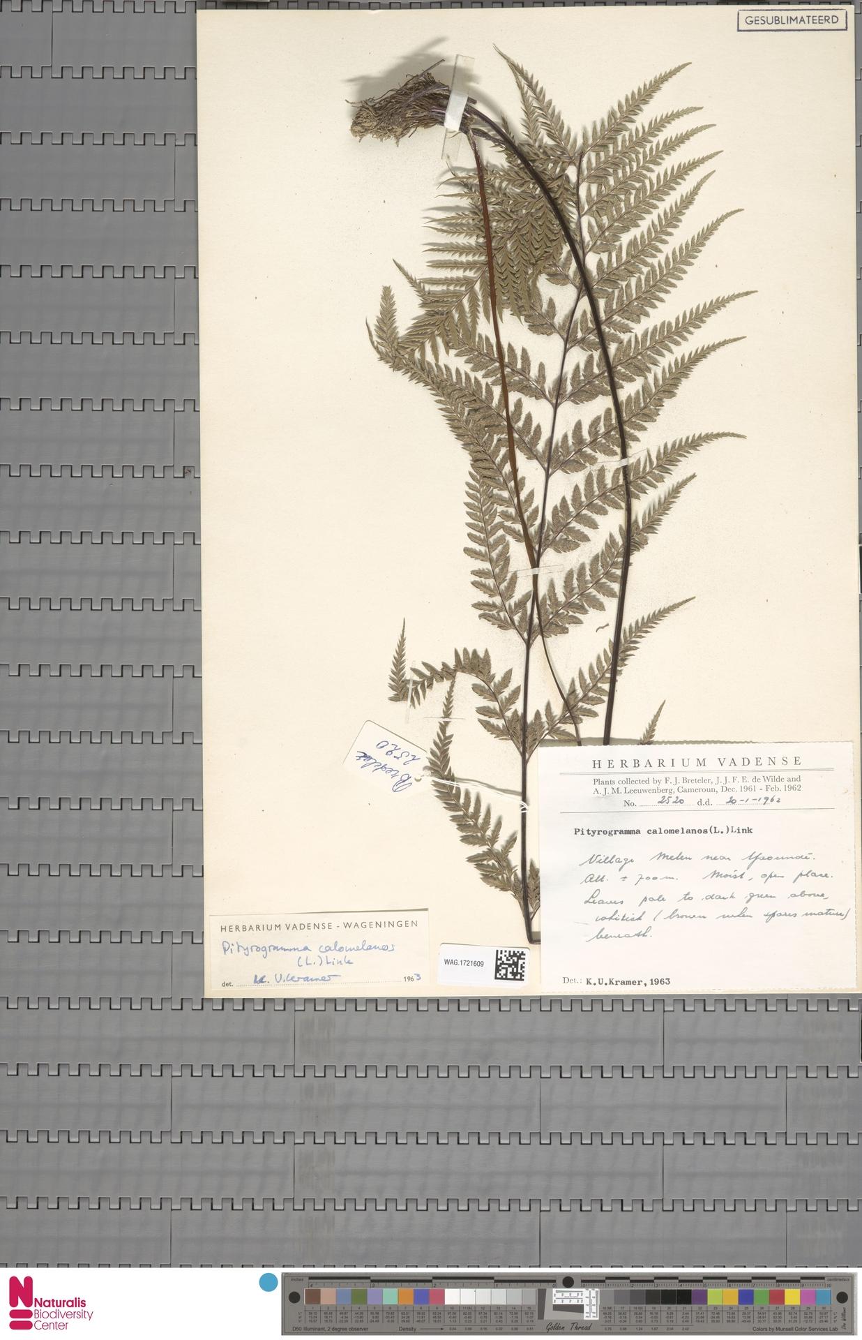 WAG.1721609 | Pityrogramma calomelanos (L.) Link