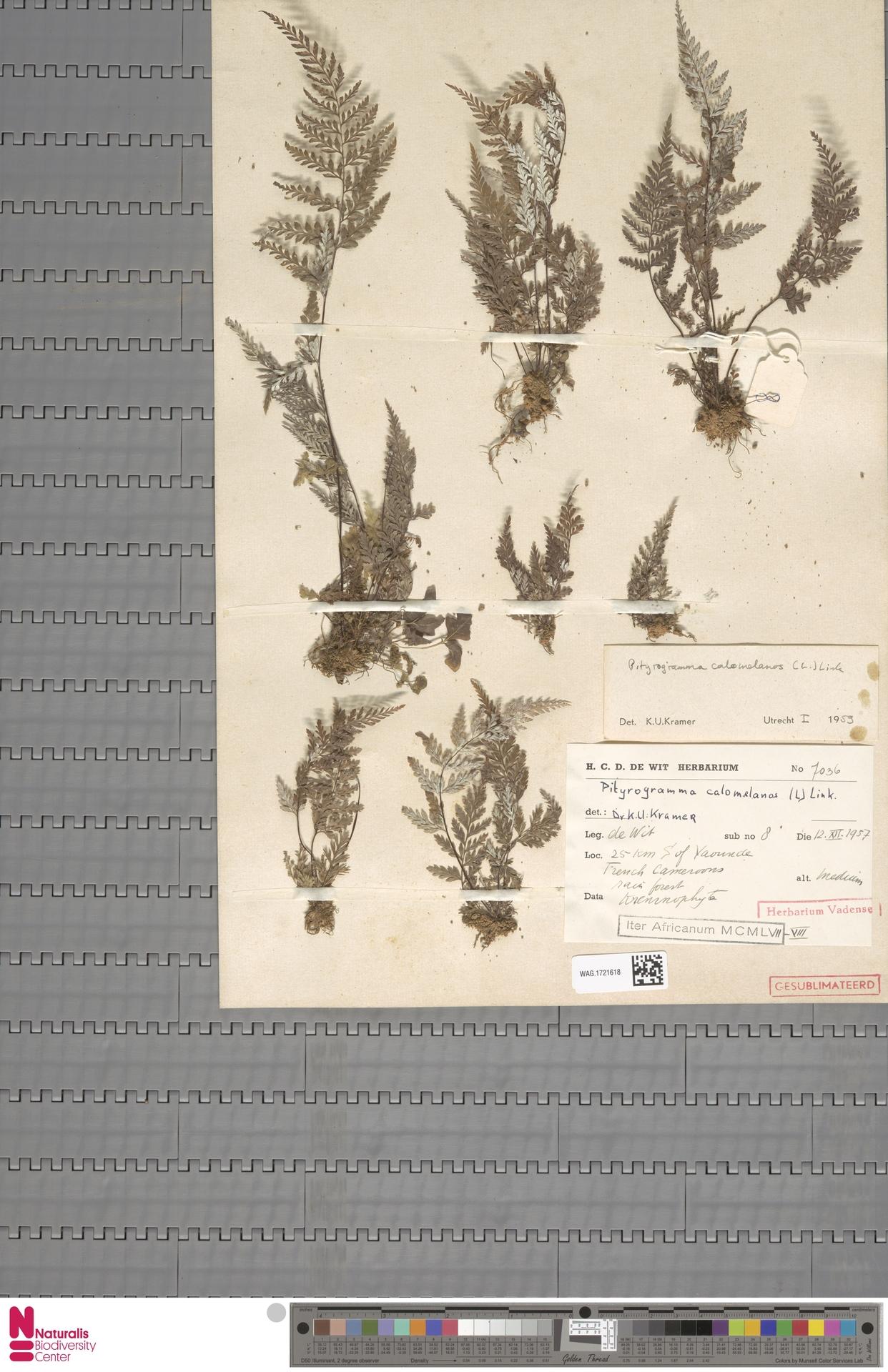 WAG.1721618 | Pityrogramma calomelanos (L.) Link