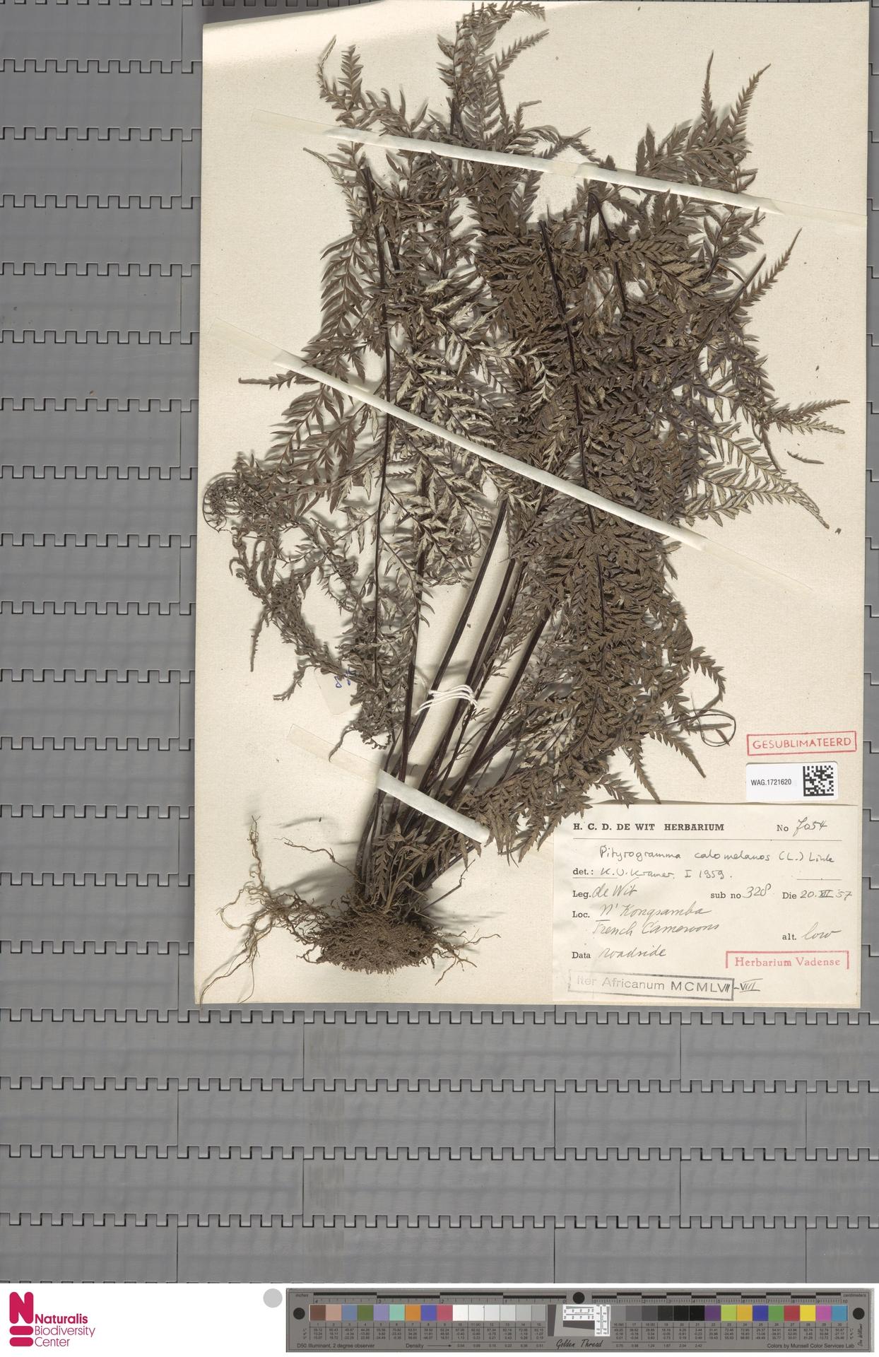 WAG.1721620 | Pityrogramma calomelanos (L.) Link