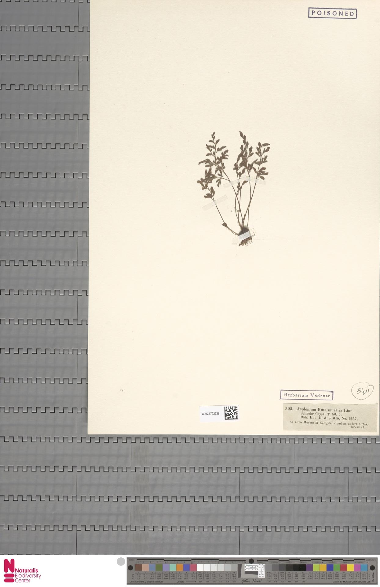 WAG.1722539   Asplenium ruta-muraria L.