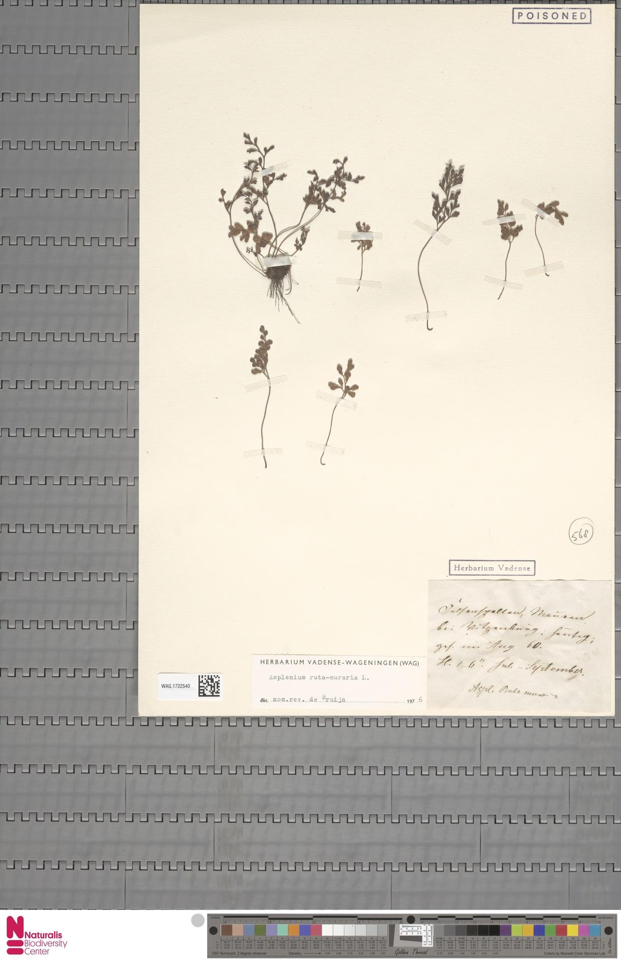 WAG.1722540 | Asplenium ruta-muraria L.