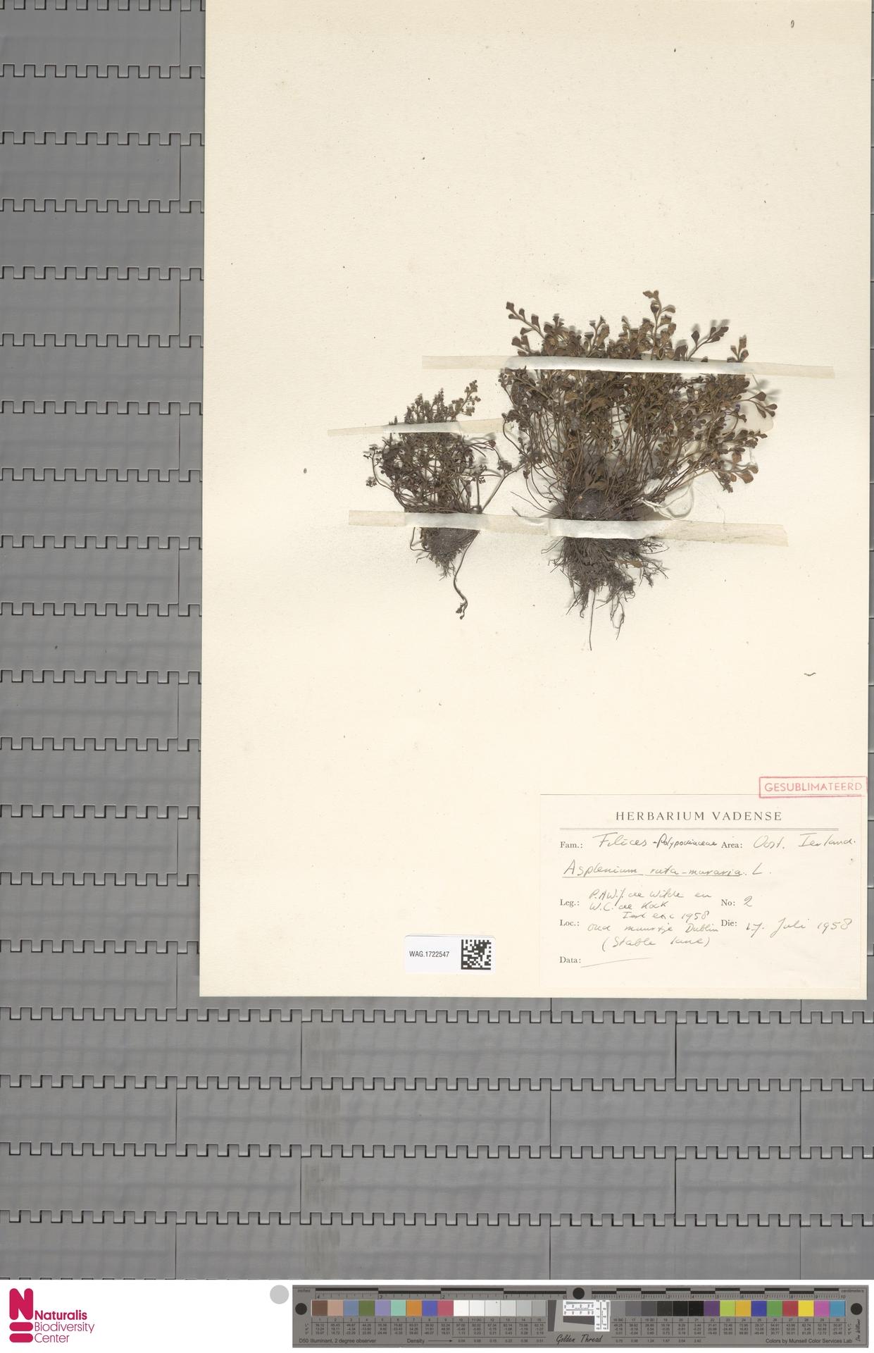 WAG.1722547 | Asplenium ruta-muraria L.