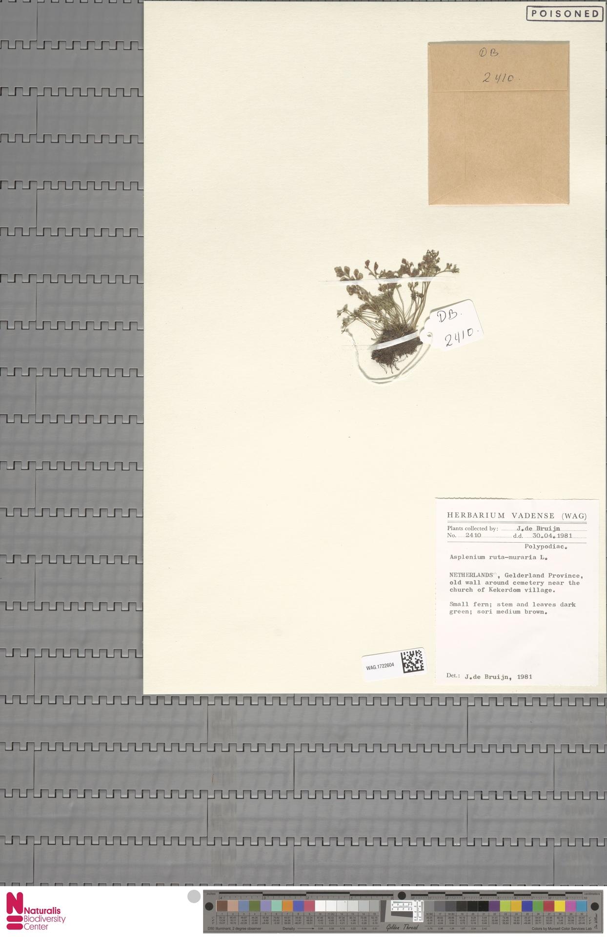WAG.1722604 | Asplenium ruta-muraria L.