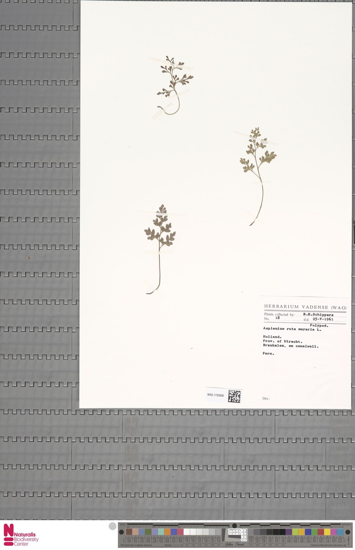 WAG.1722608 | Asplenium ruta-muraria L.