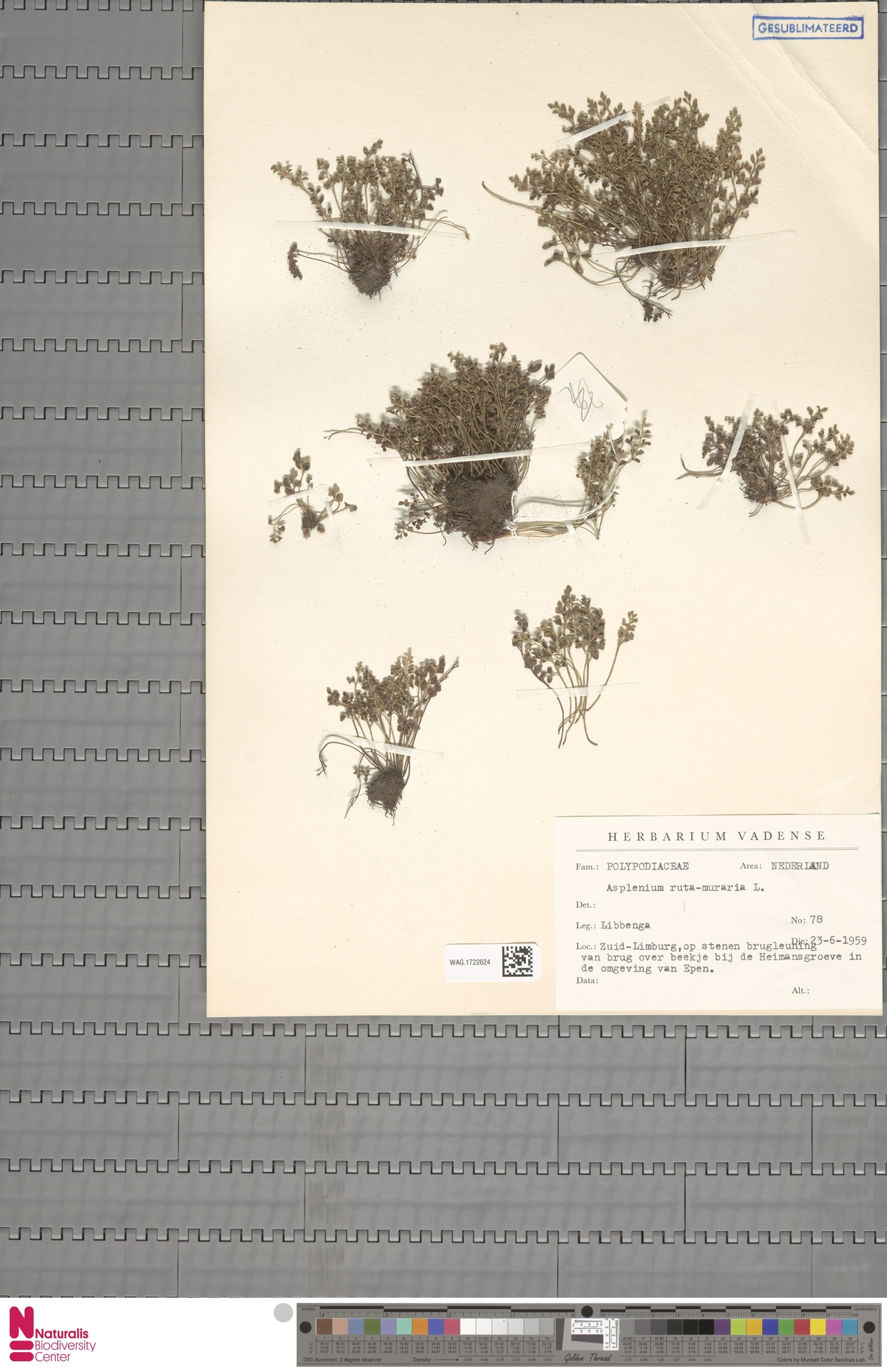 WAG.1722624   Asplenium ruta-muraria L.