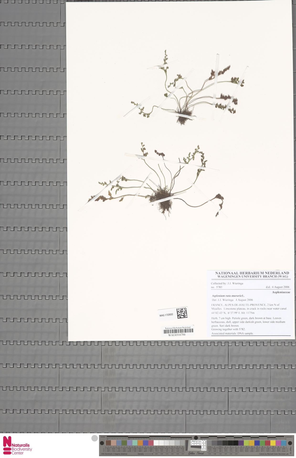 WAG.1722632 | Asplenium ruta-muraria L.