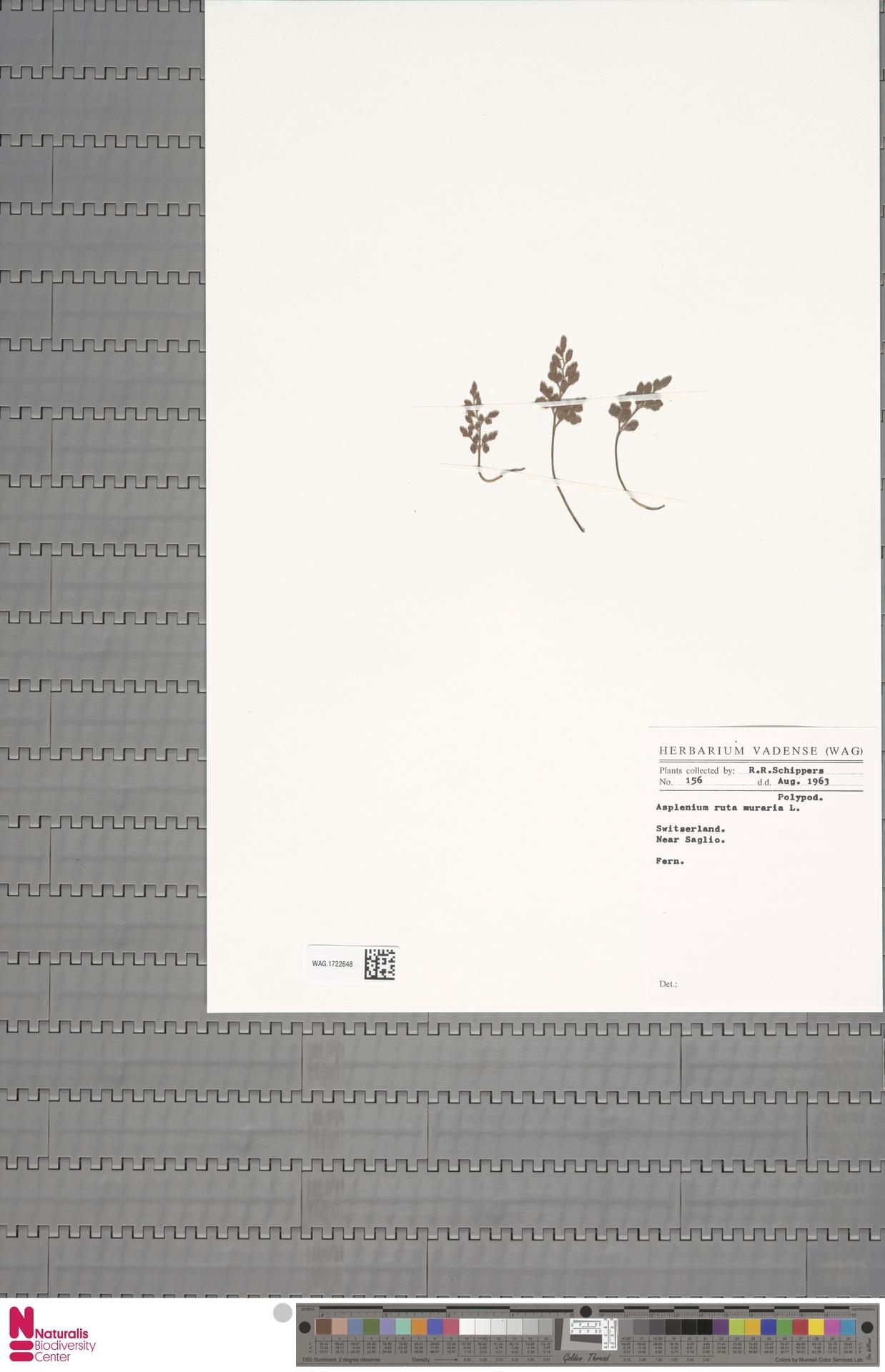 WAG.1722648 | Asplenium ruta-muraria L.