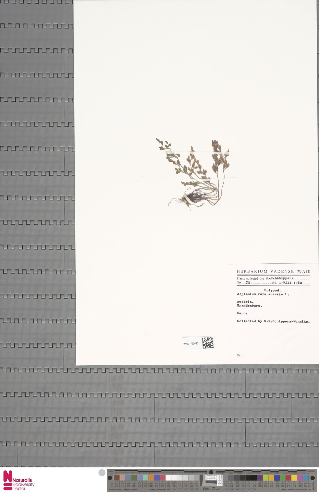 WAG.1722650 | Asplenium ruta-muraria L.
