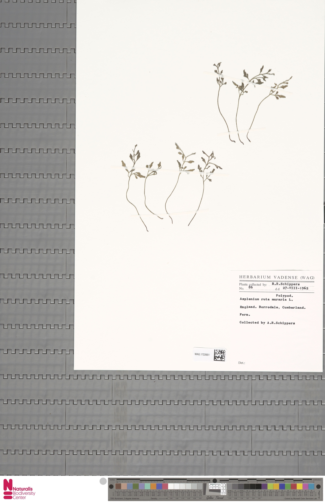 WAG.1722651 | Asplenium ruta-muraria L.