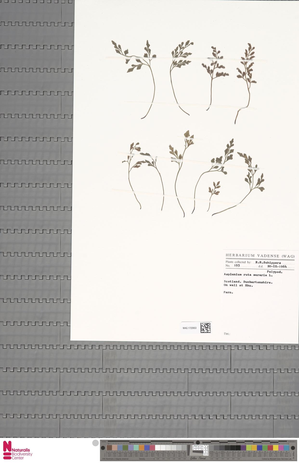 WAG.1722653   Asplenium ruta-muraria L.