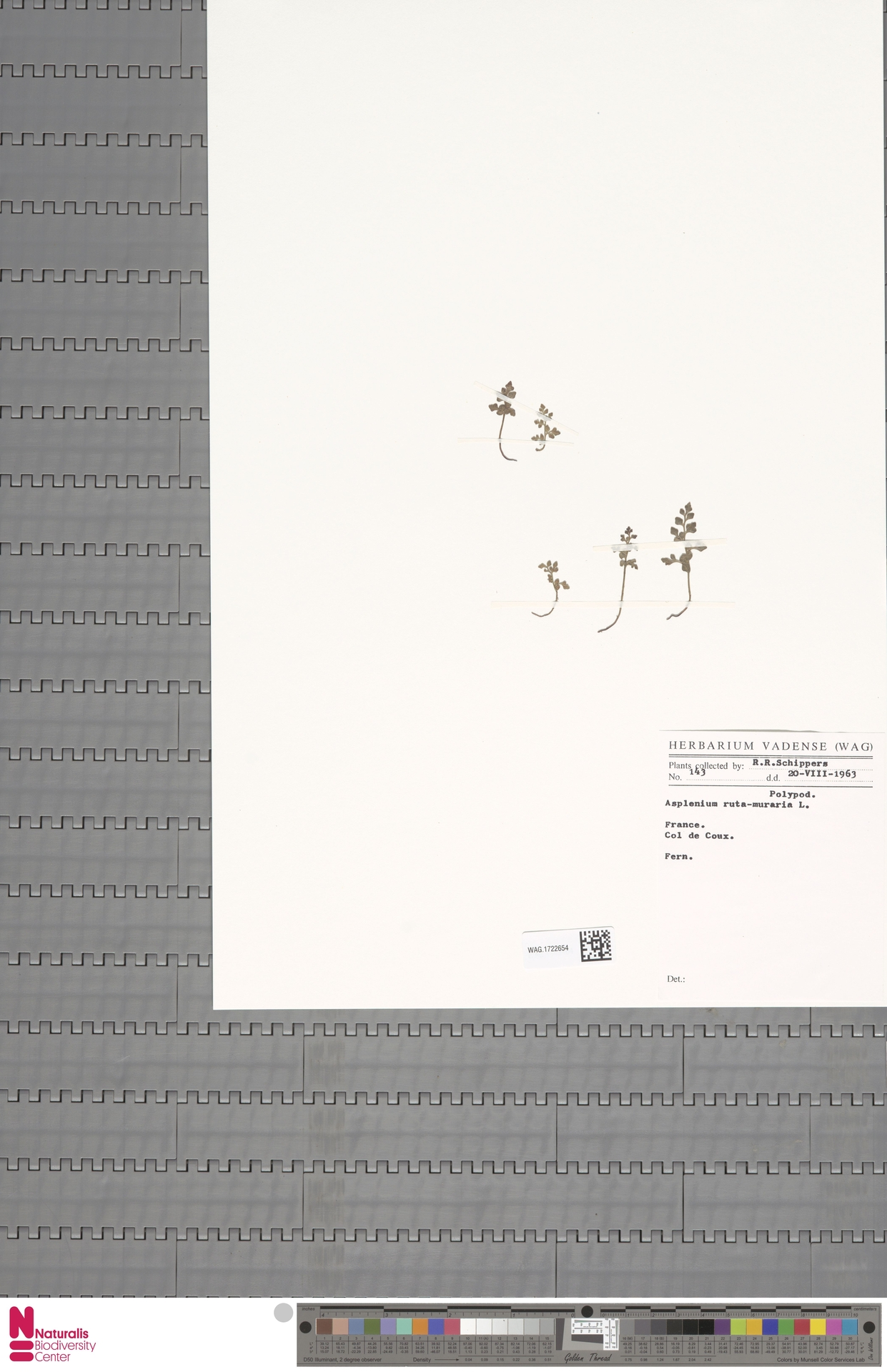 WAG.1722654 | Asplenium ruta-muraria L.