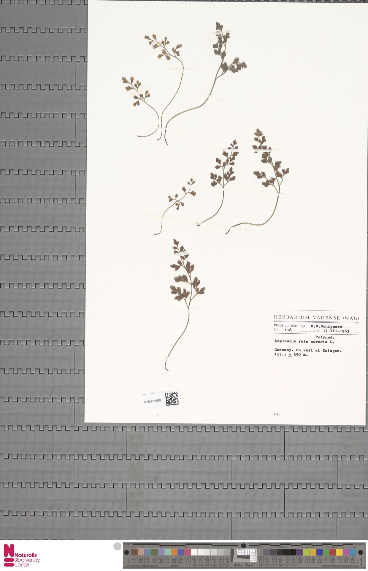 WAG.1722656 | Asplenium ruta-muraria L.