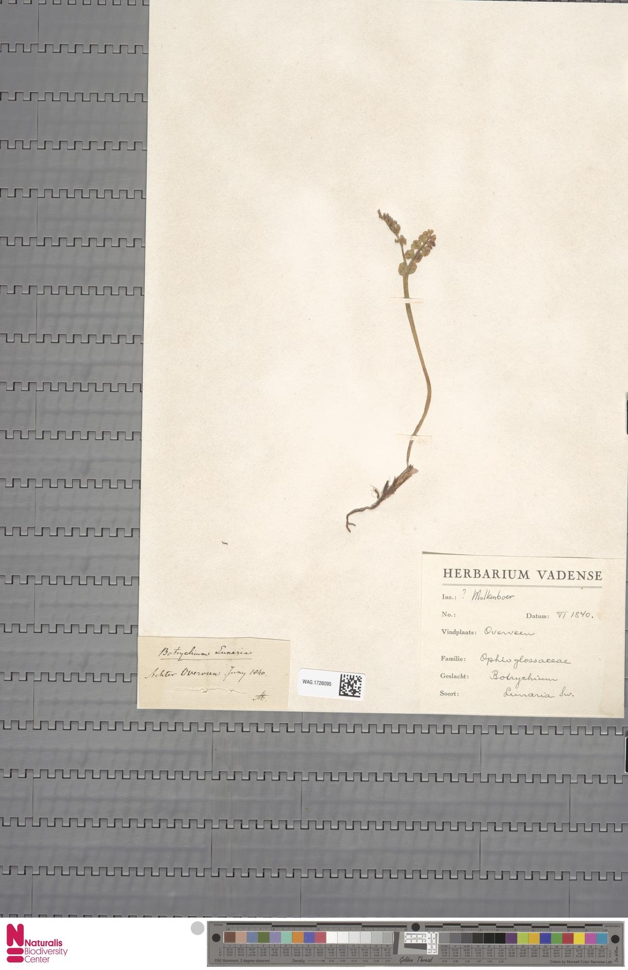 WAG.1726095 | Botrychium lunaria (L.) Sw.