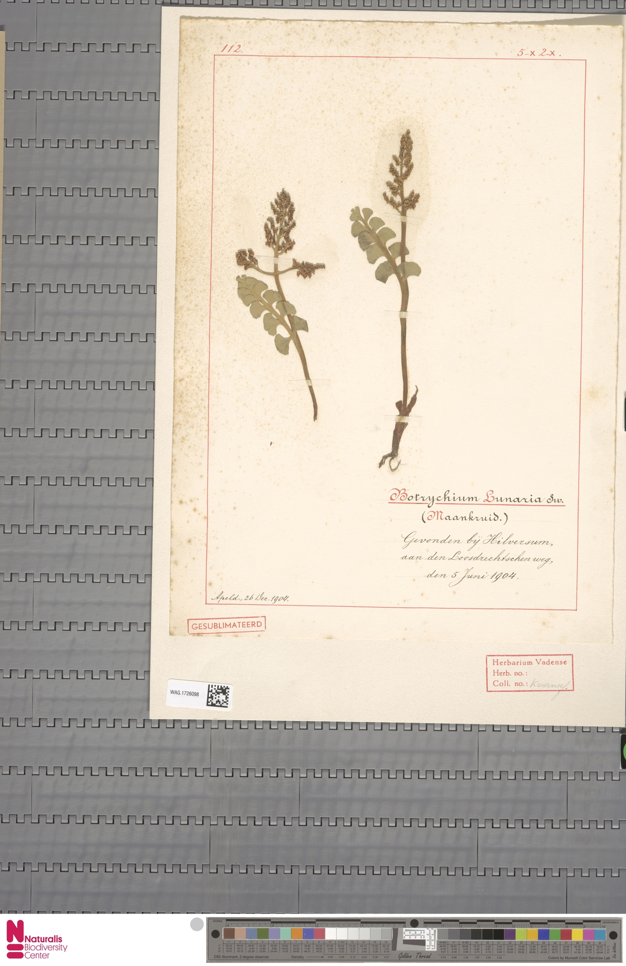 WAG.1726098 | Botrychium lunaria (L.) Sw.